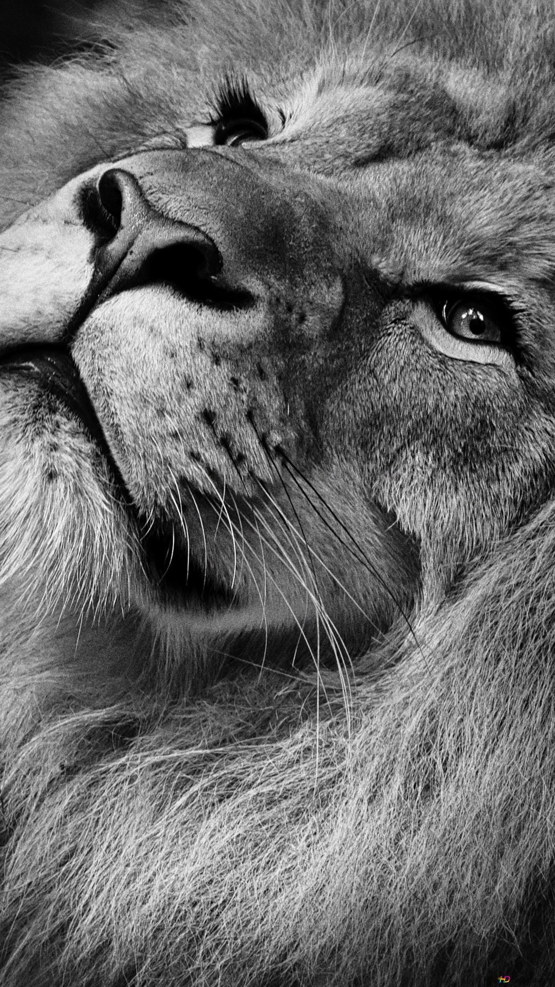 Sfondi android leone