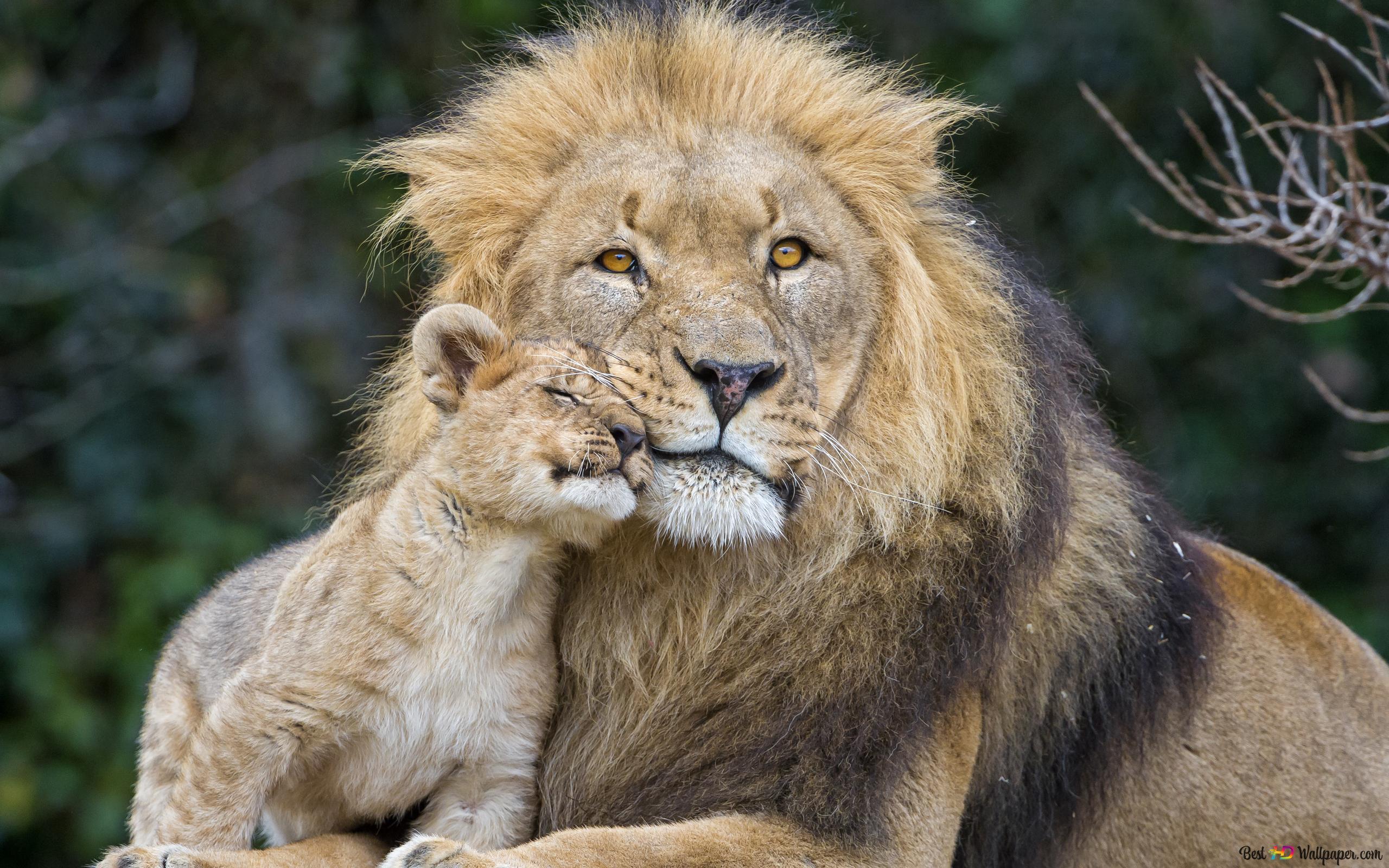 Lion Avec Son Cub Hd Fond Décran Télécharger