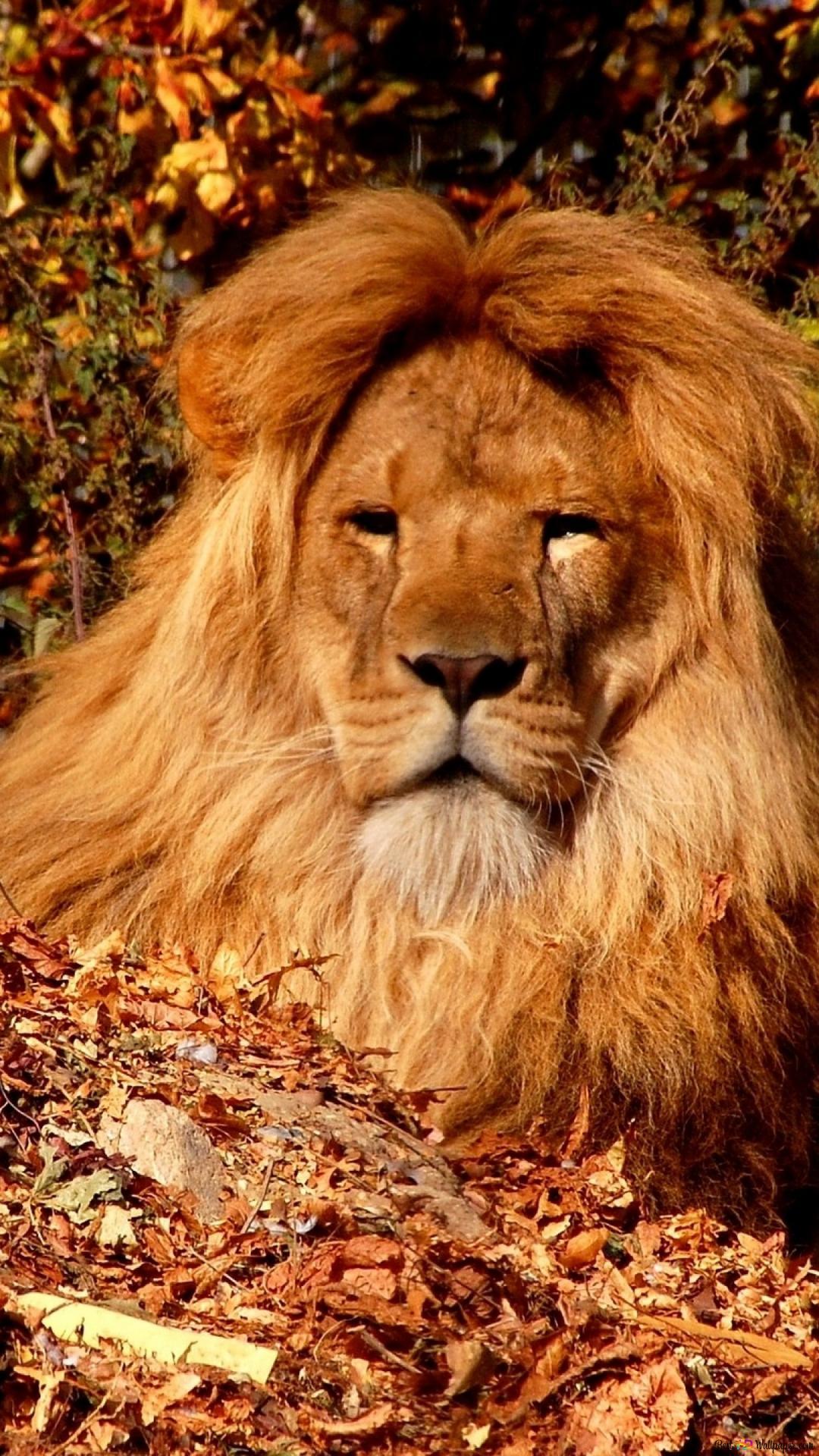 Lion Wallpaper Iphone 7 Plus