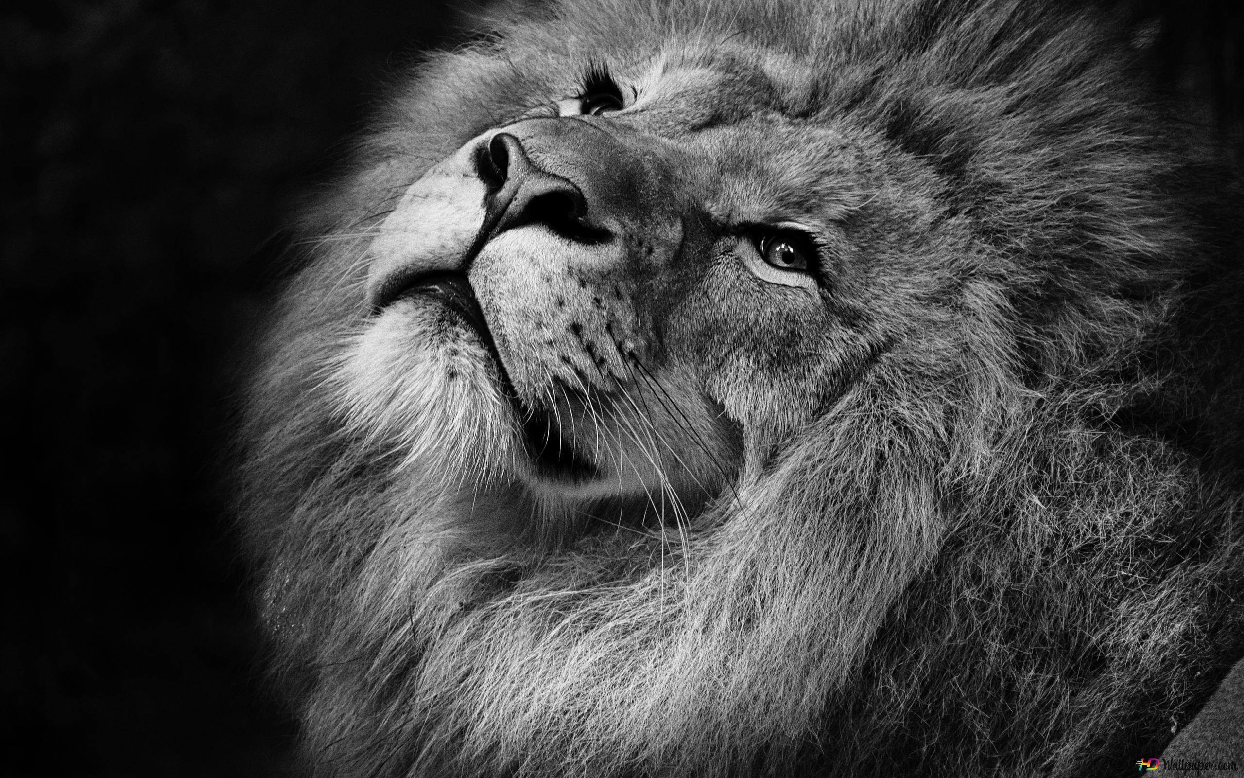 Lion Hd Fond Décran Télécharger