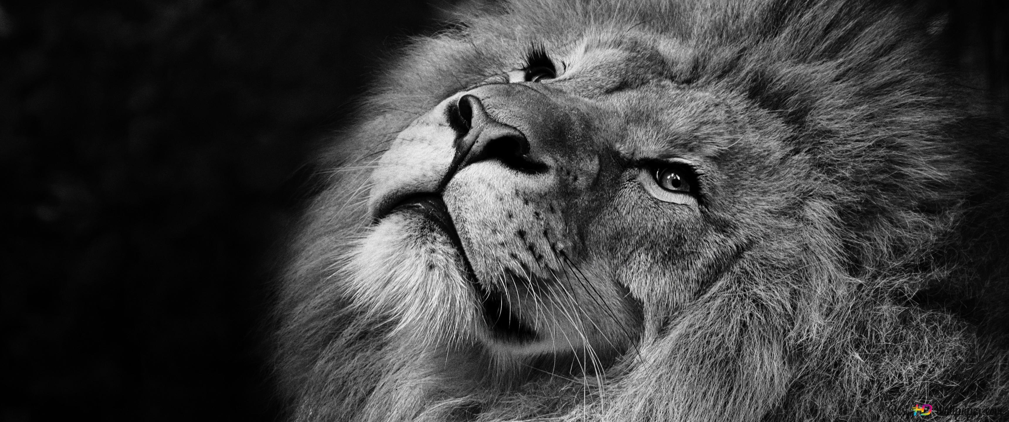 Lion HD fond d'écran télécharger