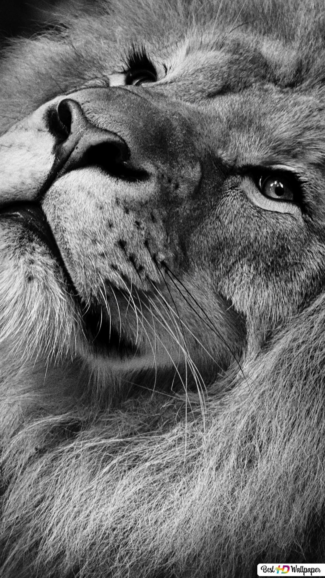 Lion Hd Wallpaper For Iphone 7 Wallpapersimages Org