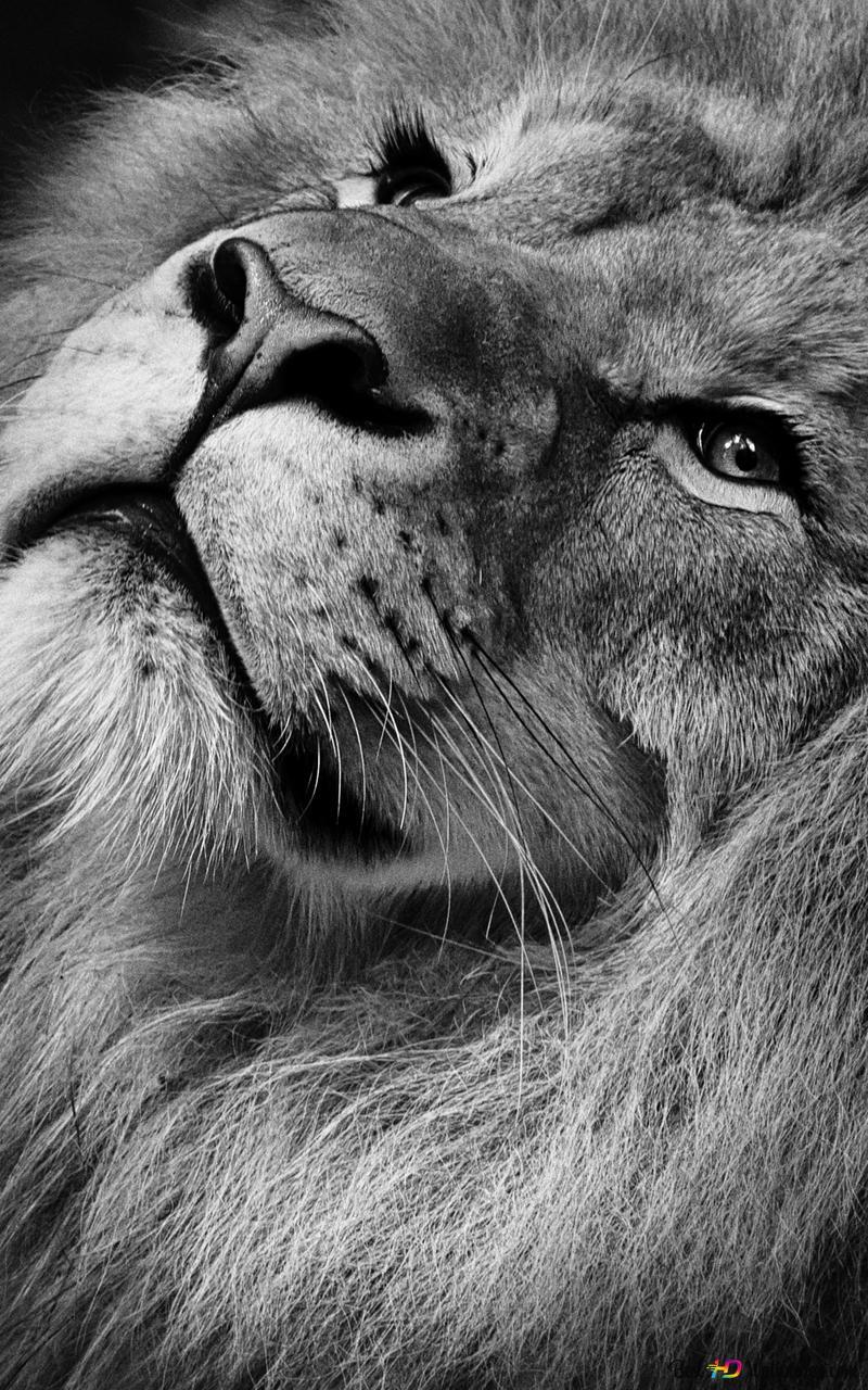 Lion Hd Wallpaper Download