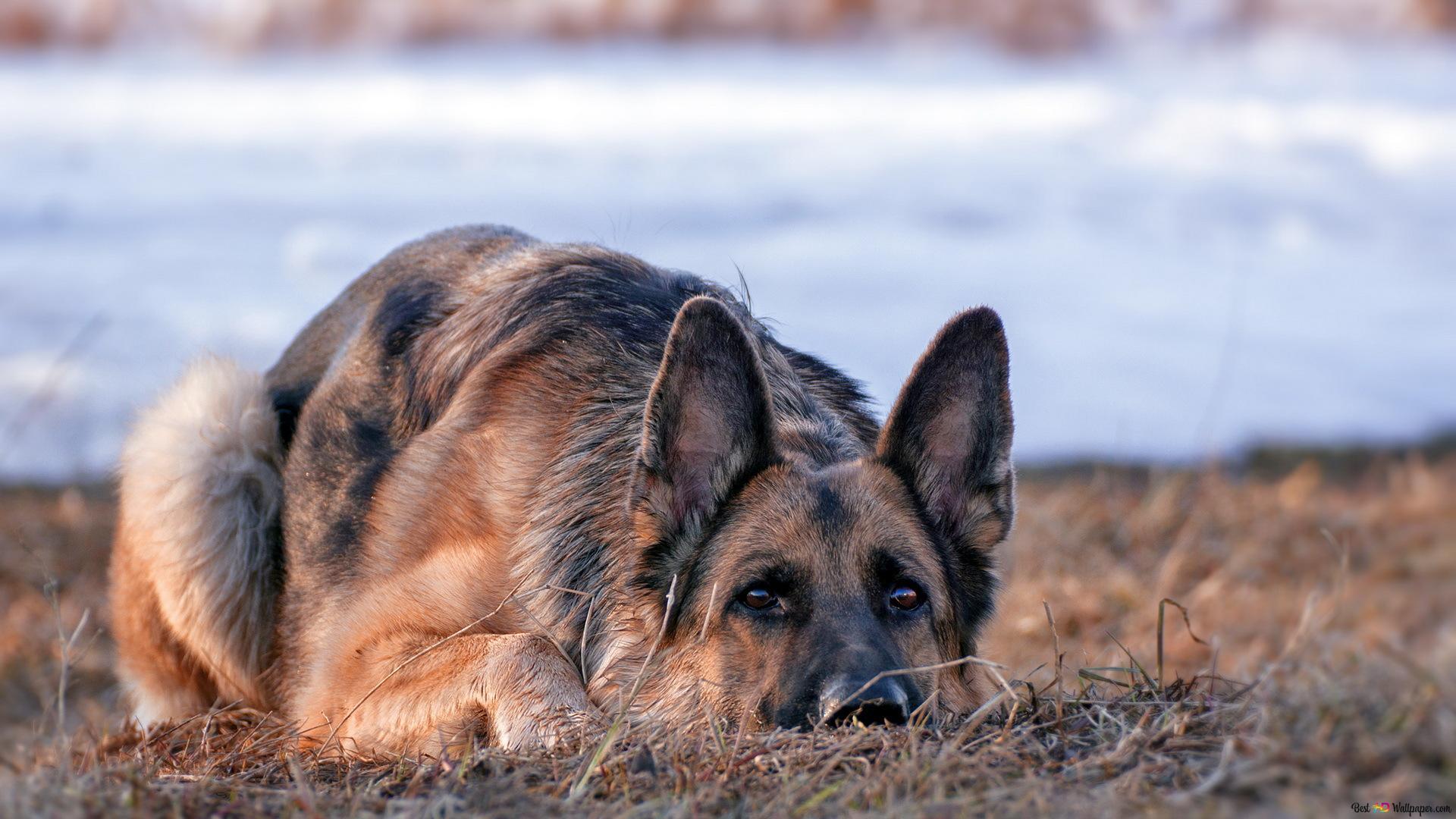 Lonely german shepherd HD wallpaper
