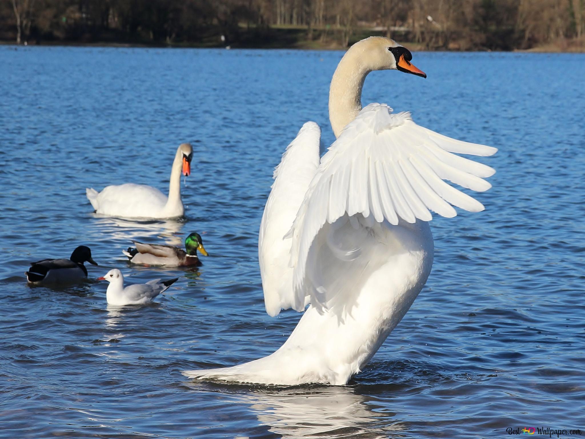 mute swan hd wallpaper download