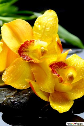 natural beauty of yellow orchid wallpaper 320x480 20822 170