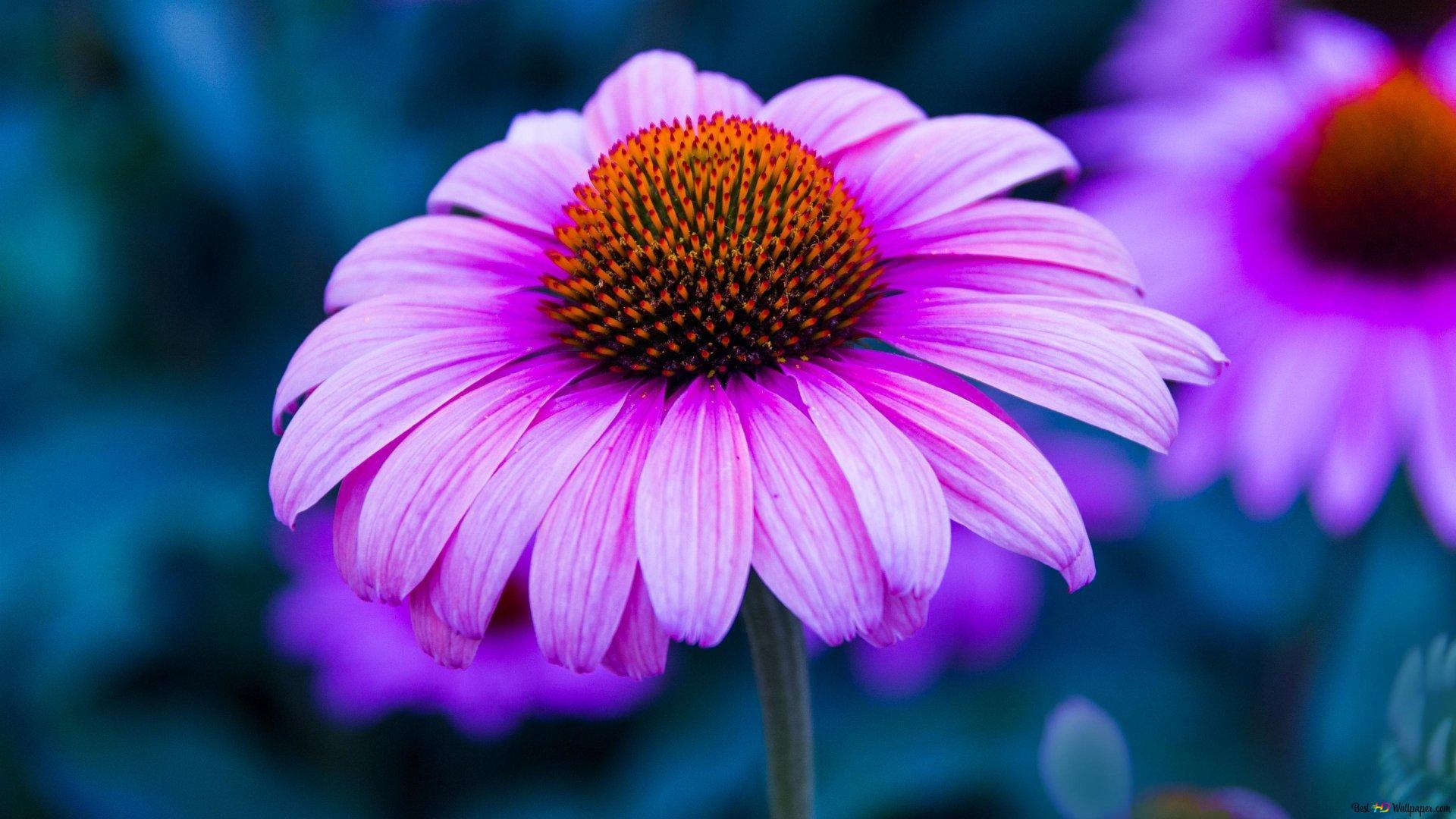 Purple Coneflower Wallpapers: Purple Echinacea Flower HD Wallpaper Download