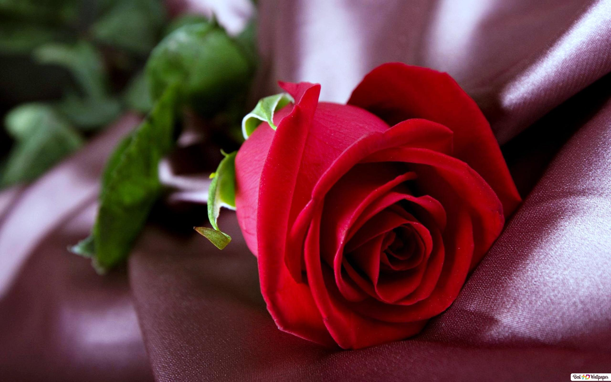 Nature Red Rose Hd Wallpaper Download