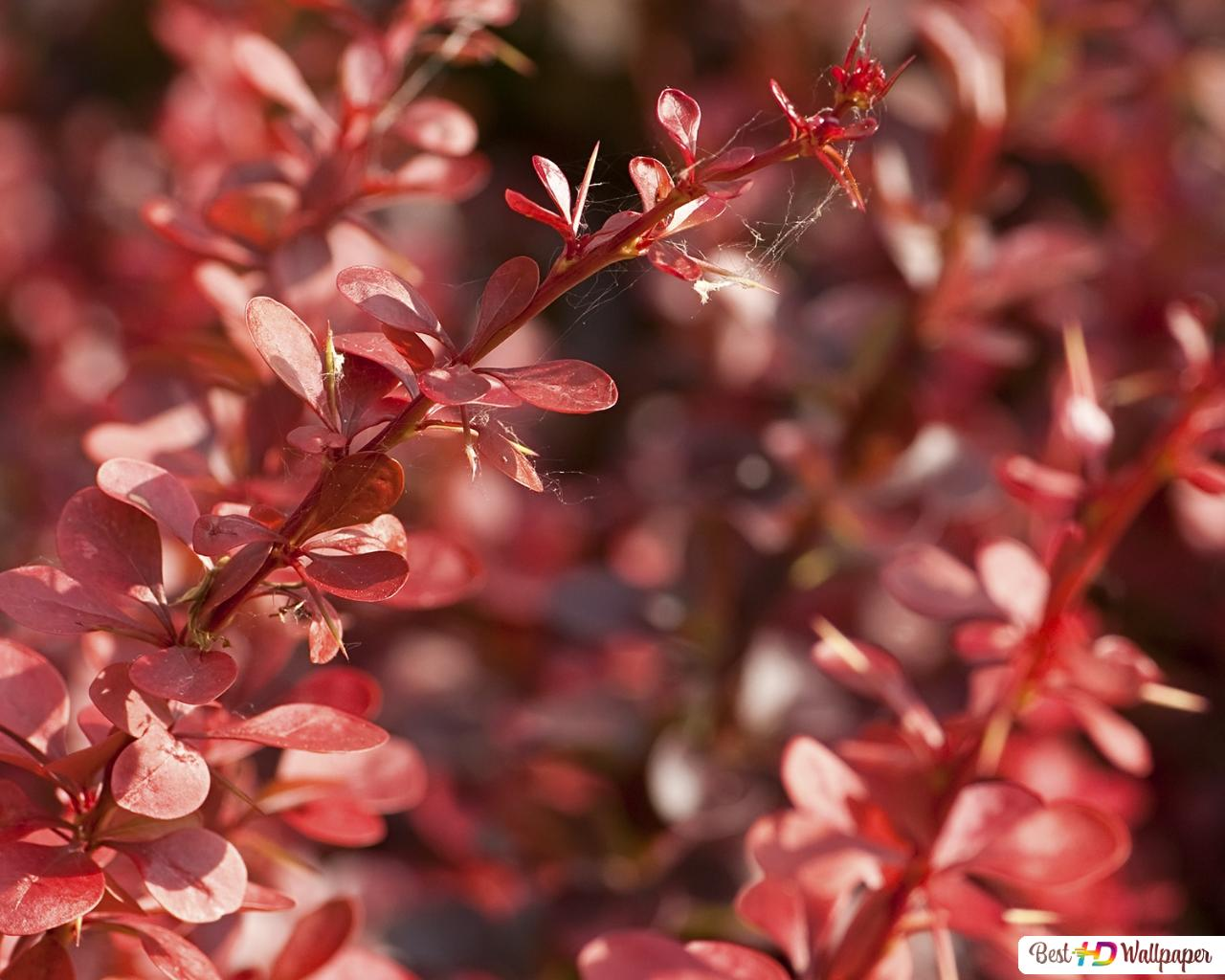 foto de Nature - rouge feuilles des plantes HD fond d'écran télécharger