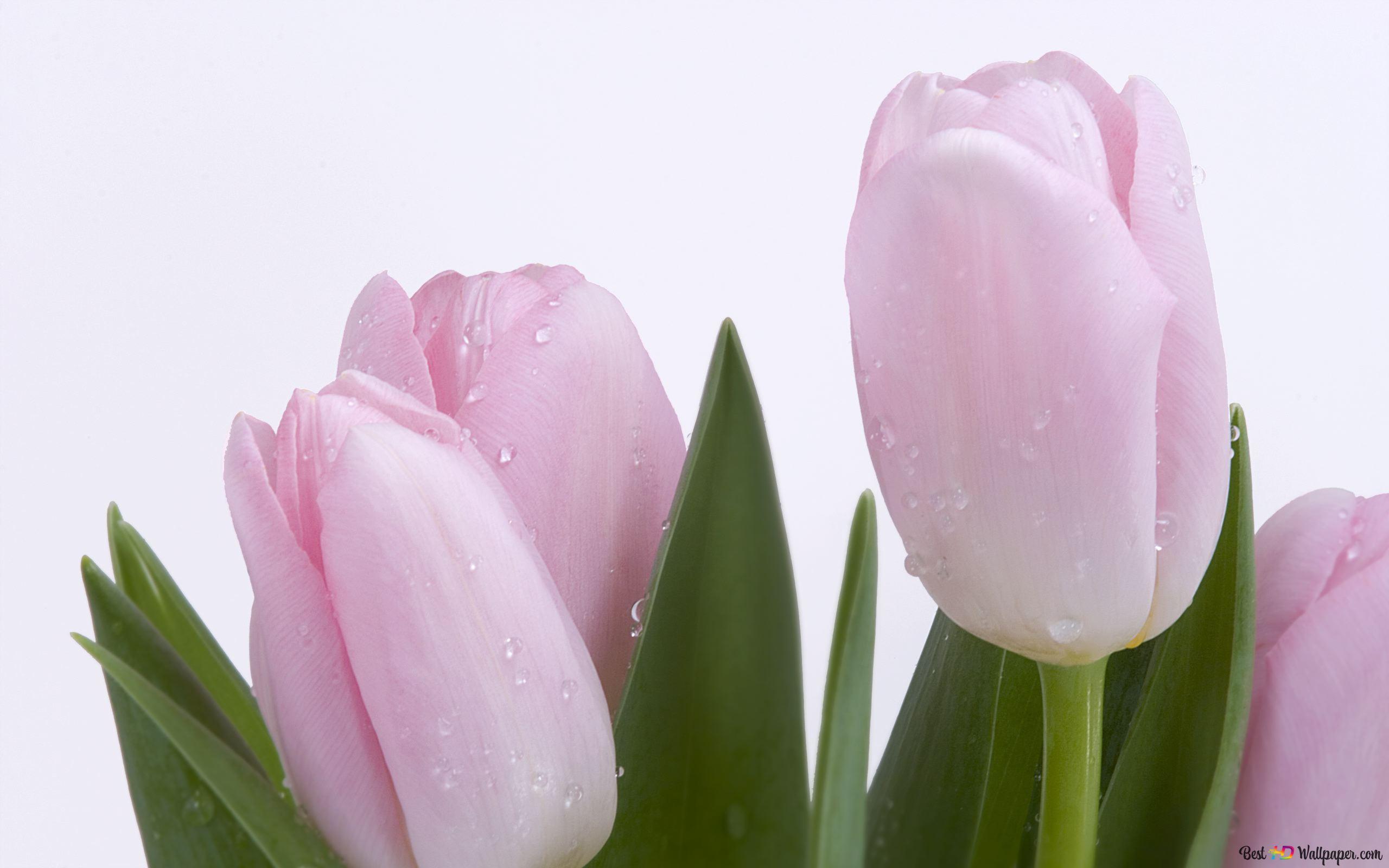 Nature Tulipes Hd Fond D Ecran Telecharger