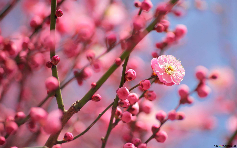 ネイチャー 梅の花 Hd壁紙のダウンロード