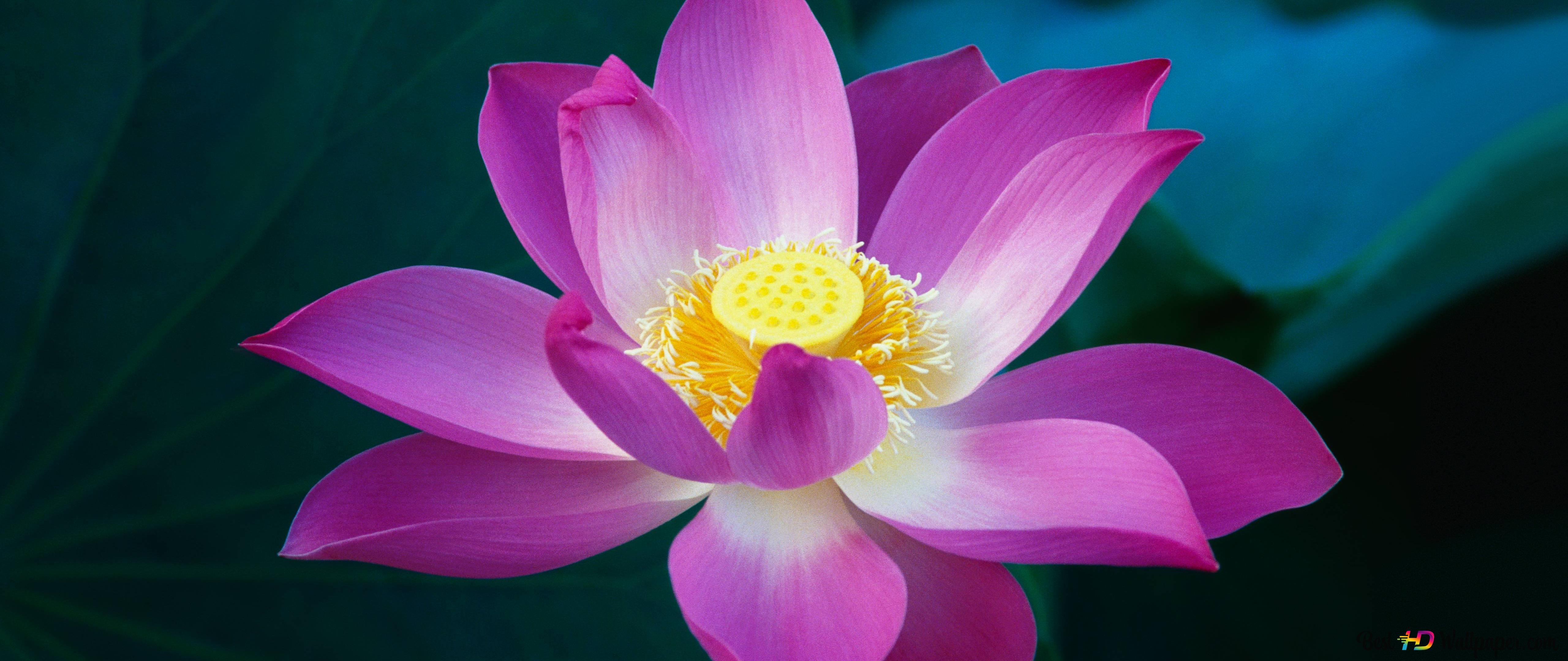 Pink lotus flower wallpaper hd