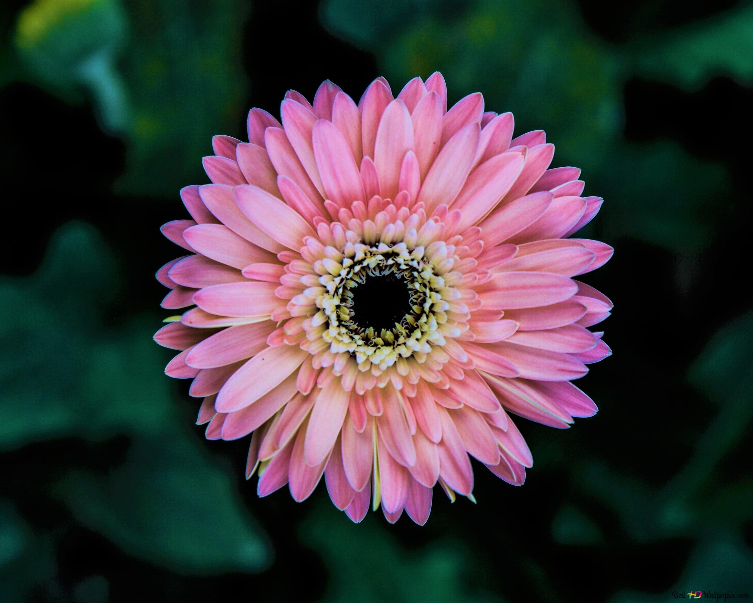 ピンクのガーベラの花 Hd壁紙のダウンロード