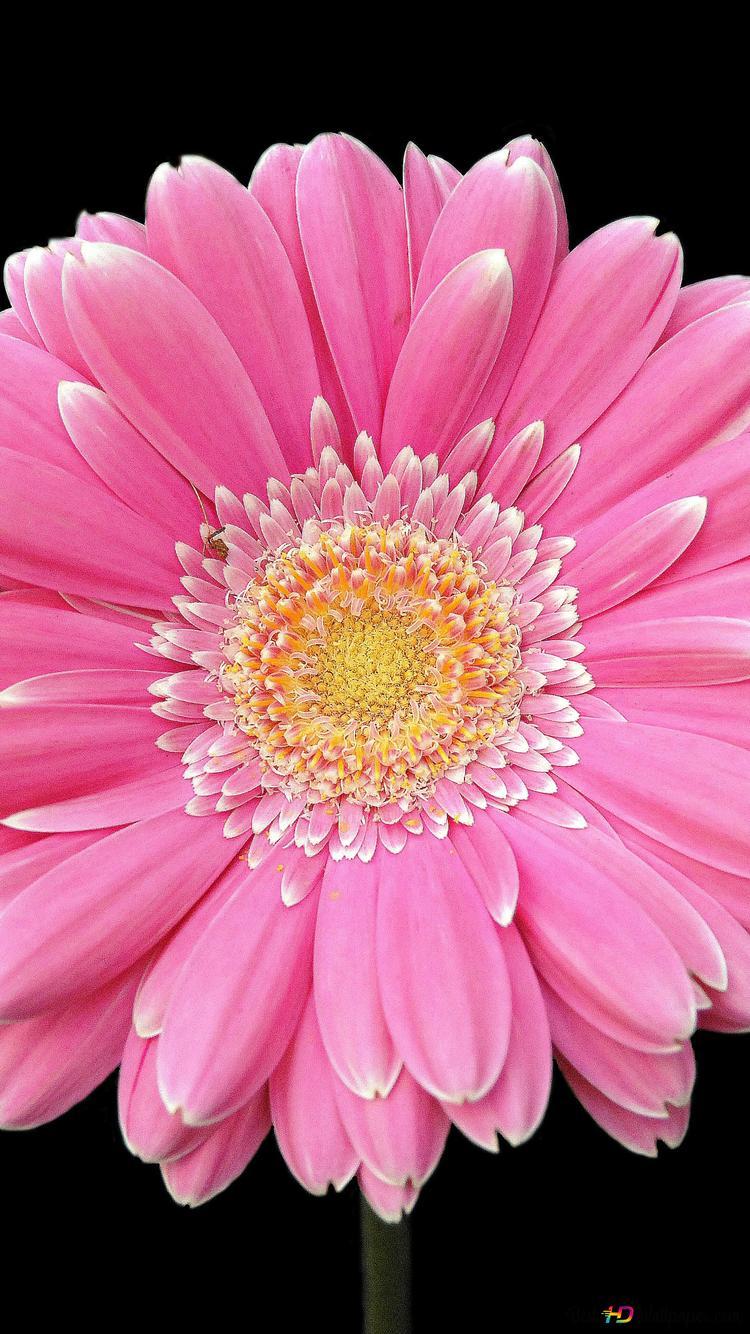 ピンクのガーベラの花のクローズアップ Hd壁紙のダウンロード
