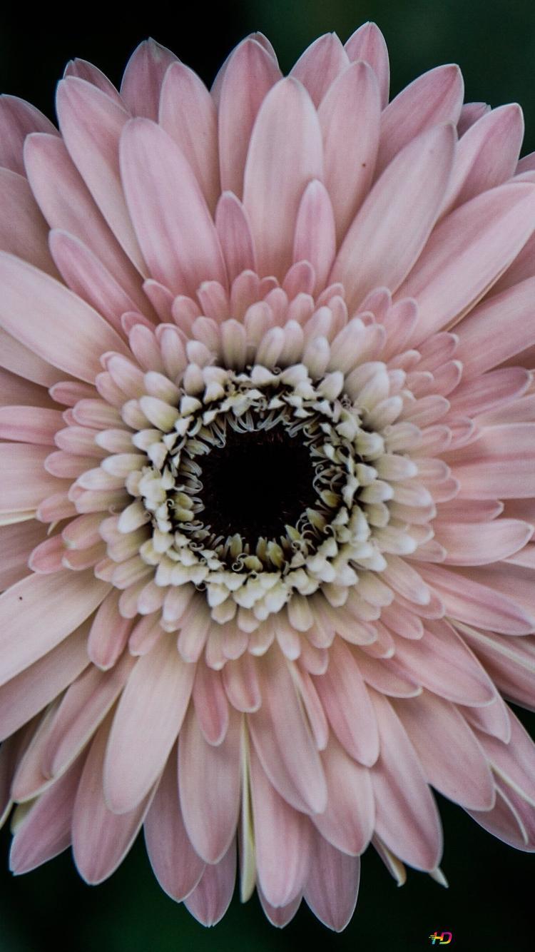 ピンクの花ガーベラ Hd壁紙のダウンロード