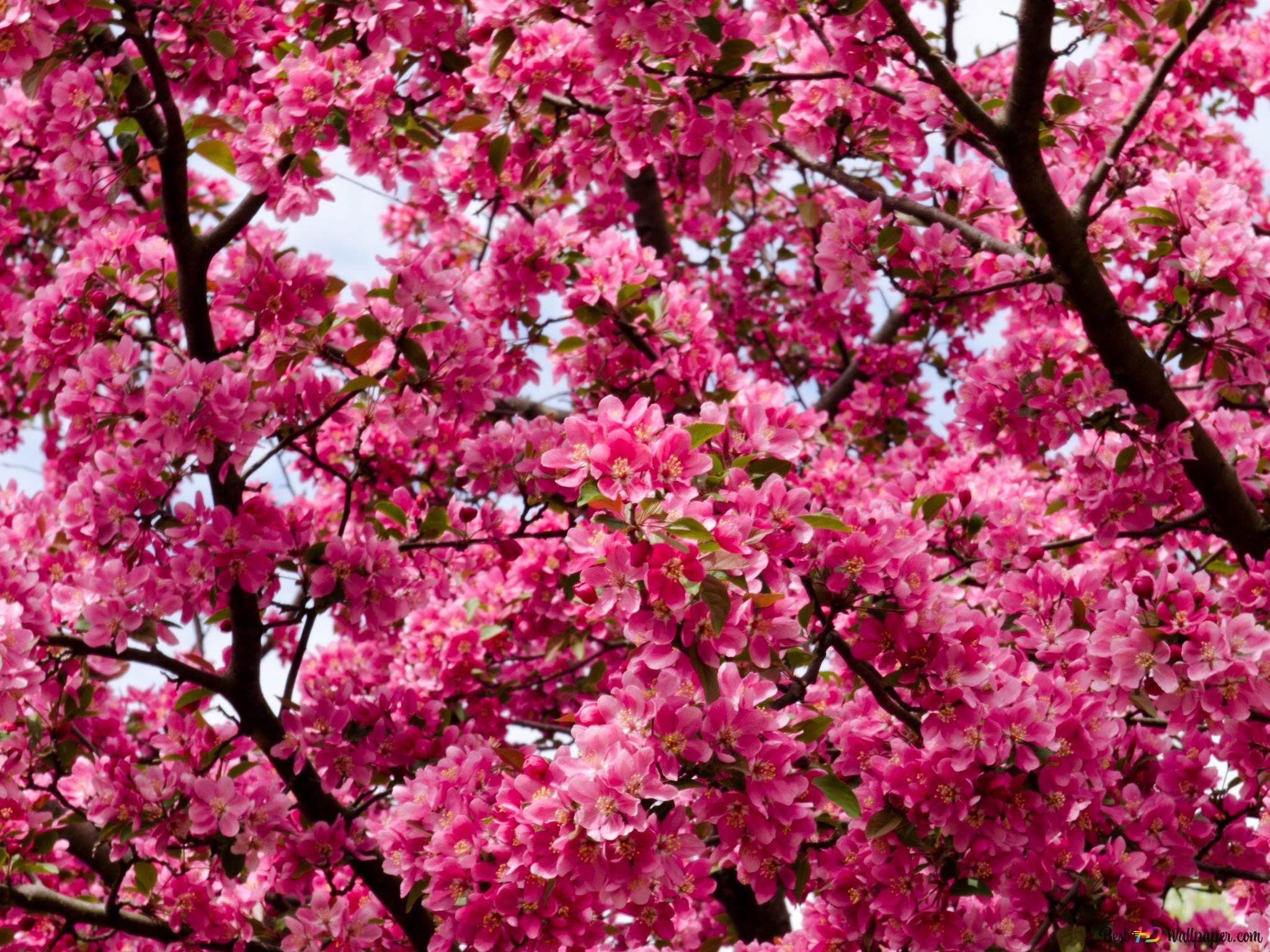 ピンクのツリー 桜 Hd壁紙のダウンロード