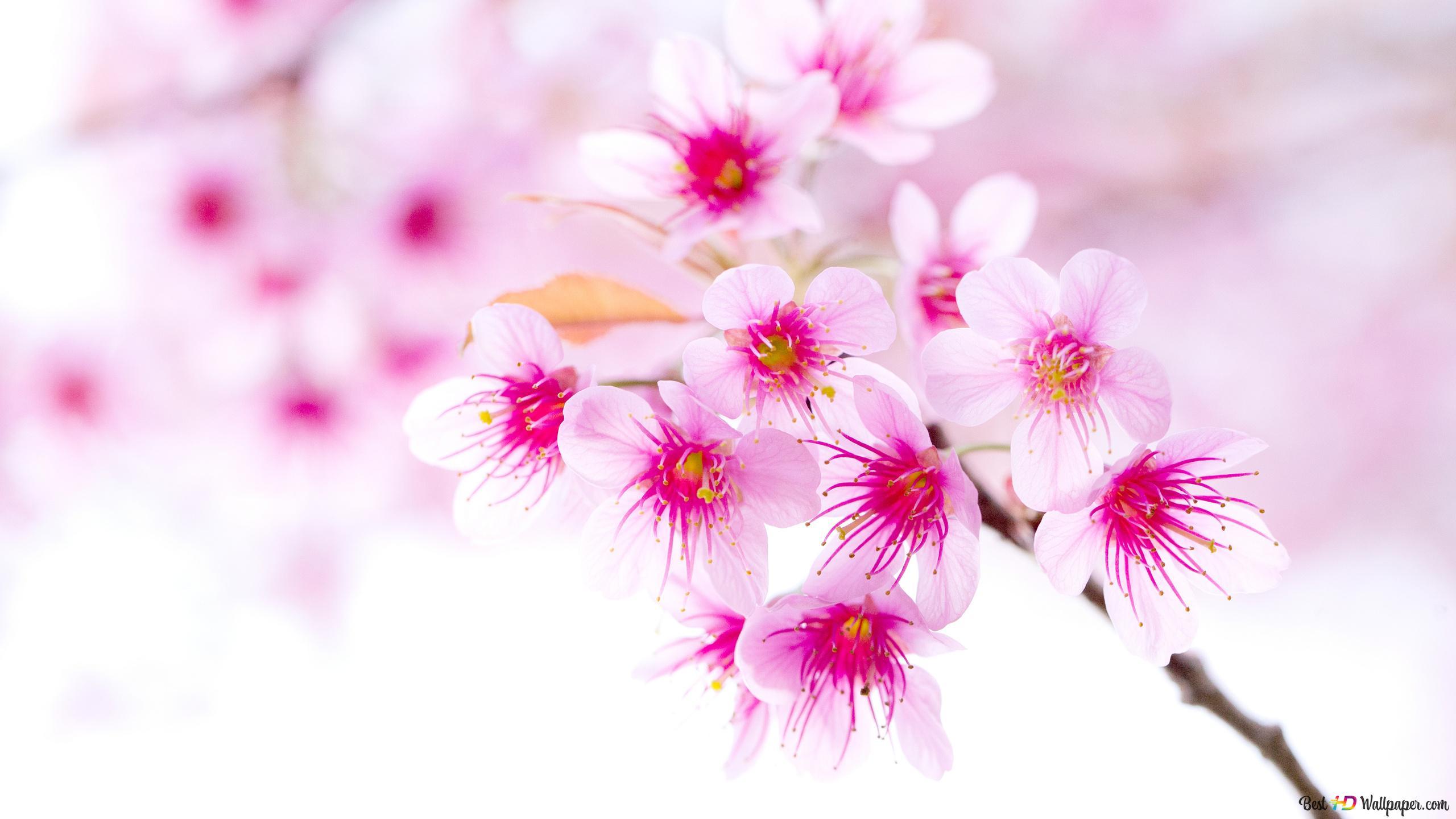 ピンクの桜 Hd壁紙のダウンロード