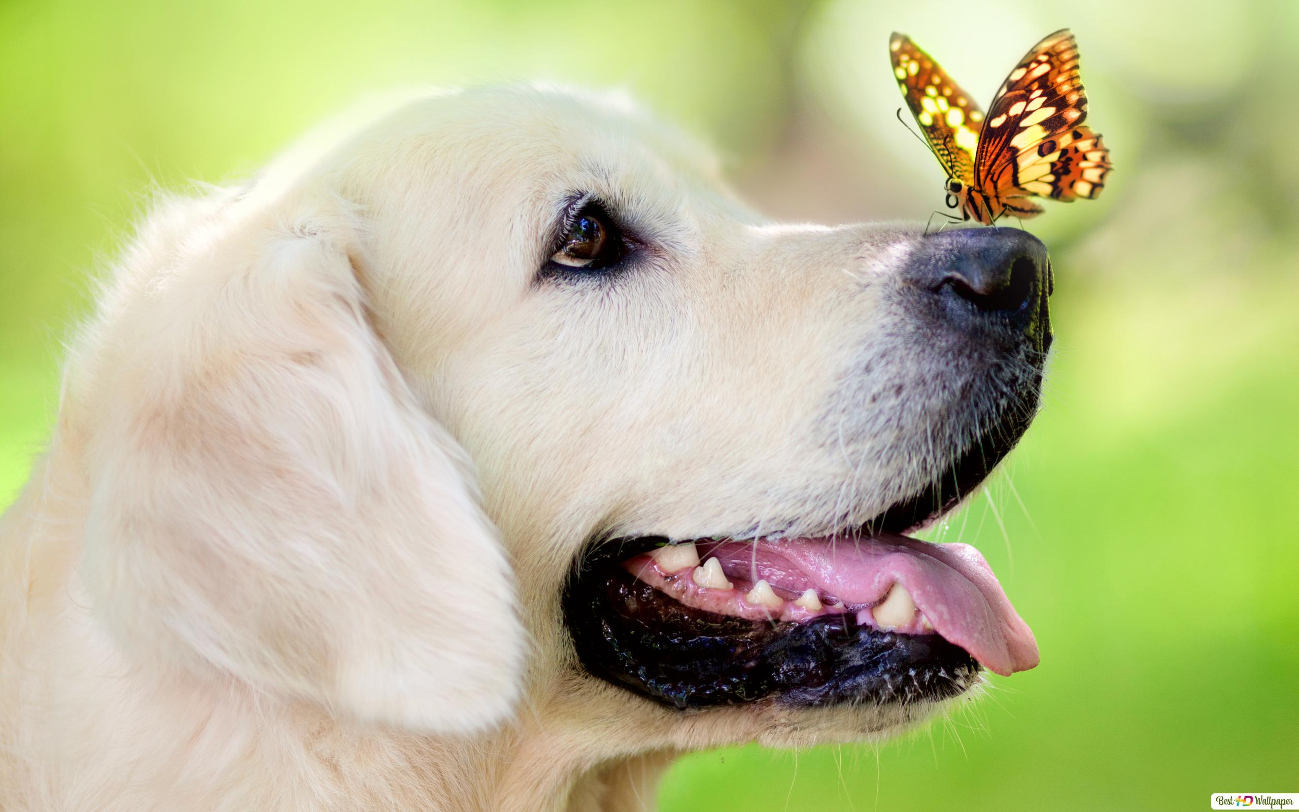 犬の鼻の上に蝶 Hd壁紙のダウンロード