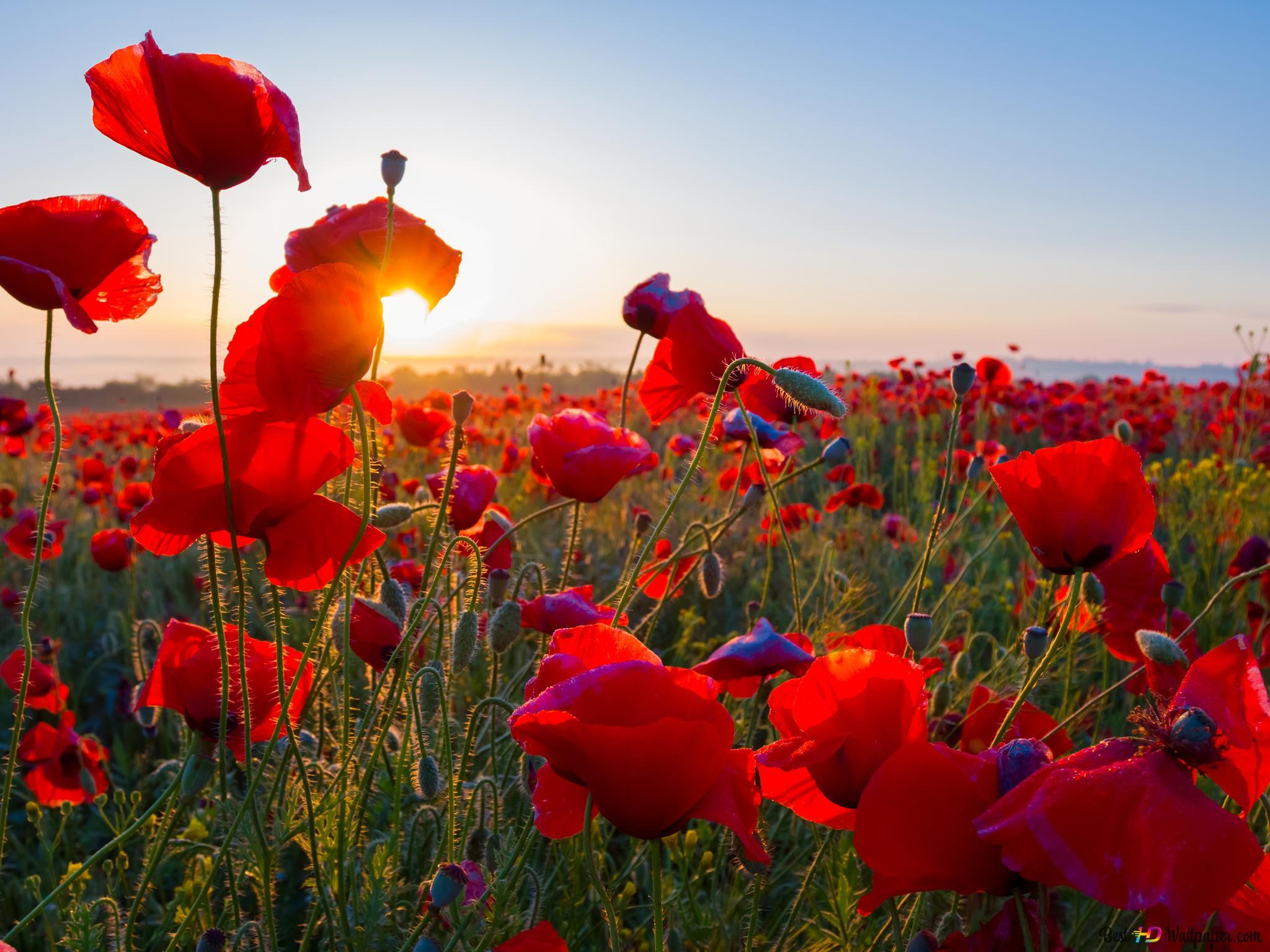 Red Campo Di Fiori Di Papavero Download Di Sfondi Hd