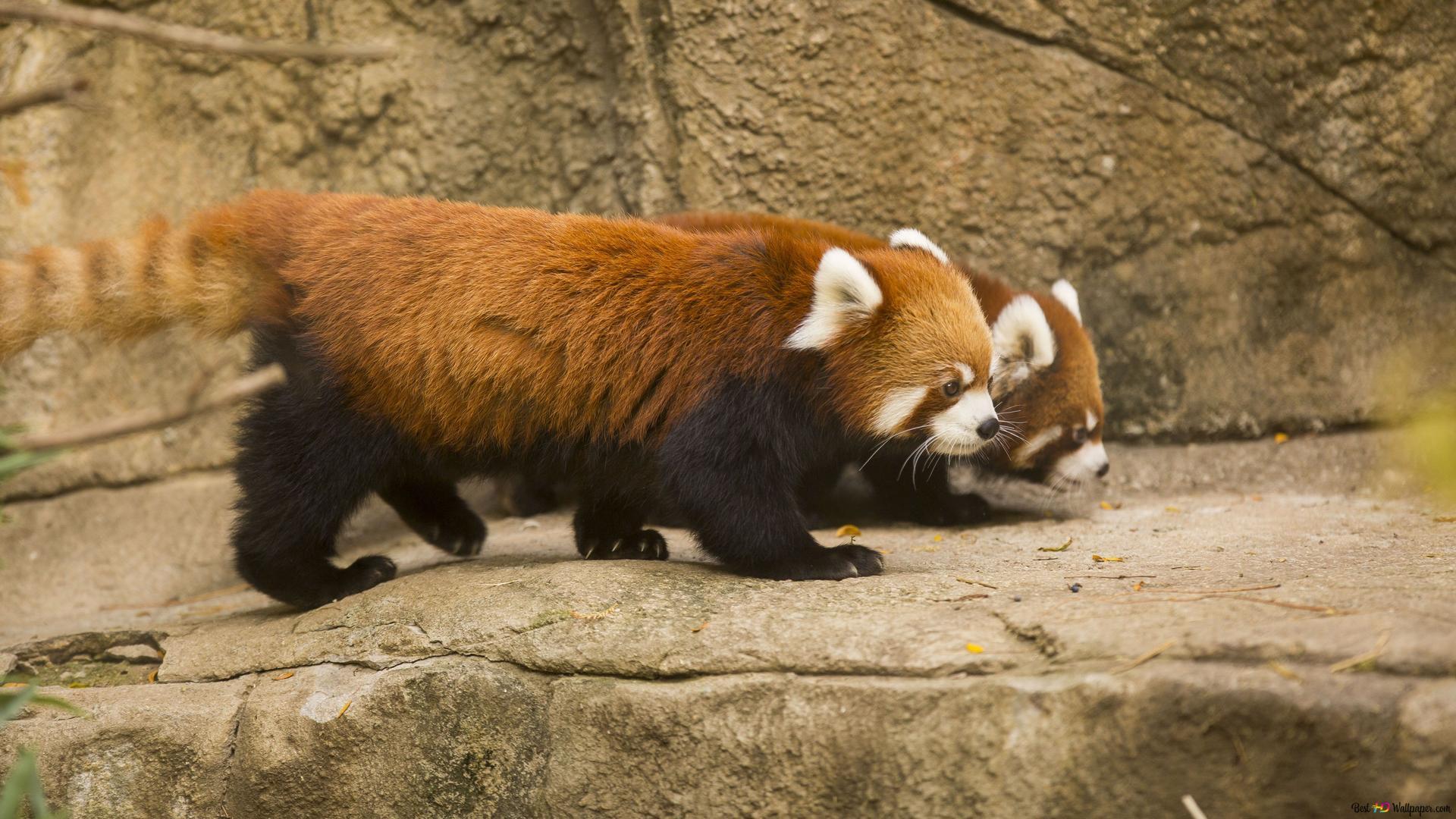 Red Panda HD Wallpaper Download