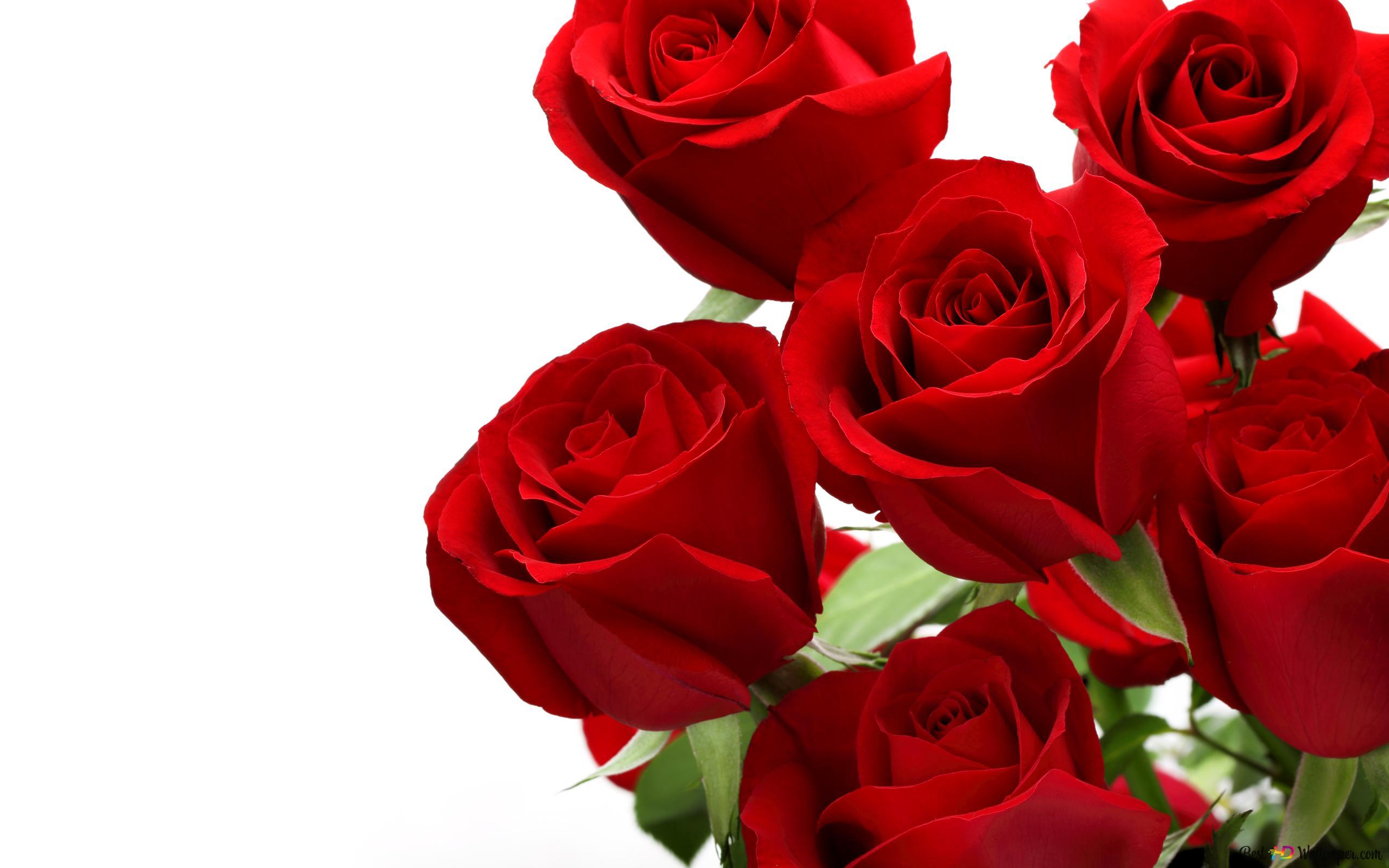 Red Rose Hd Wallpaper Download