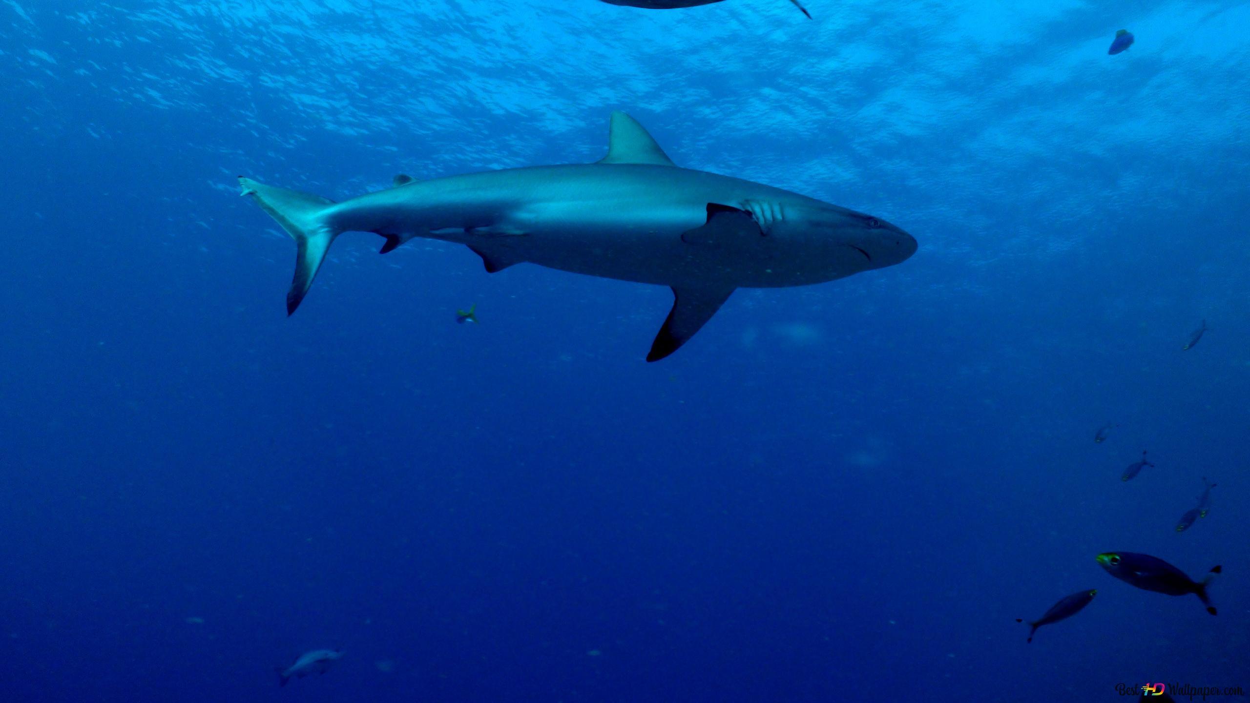 Requin Hd Fond D écran Télécharger