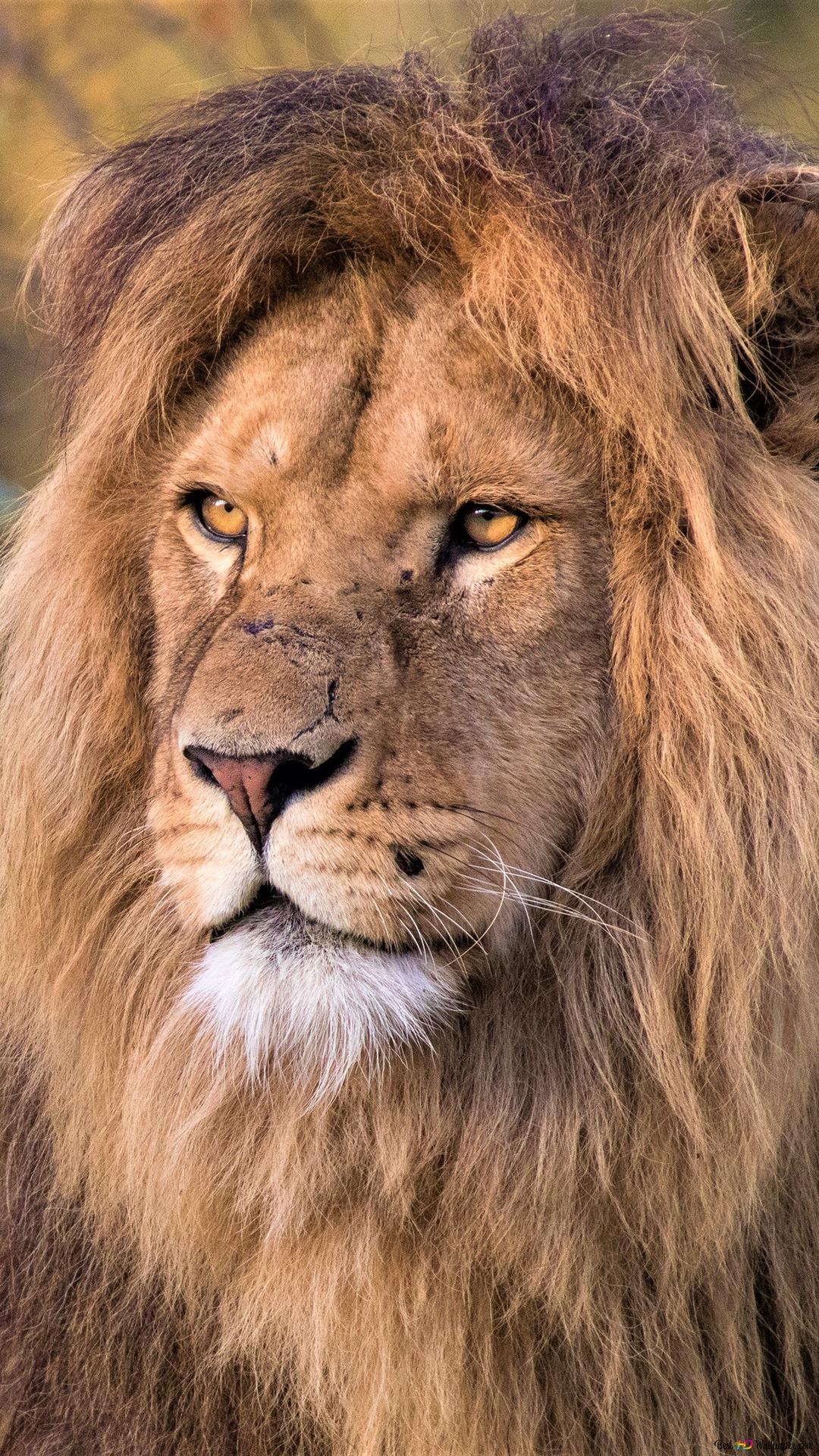 Roi Lion Hd Fond D Ecran Telecharger