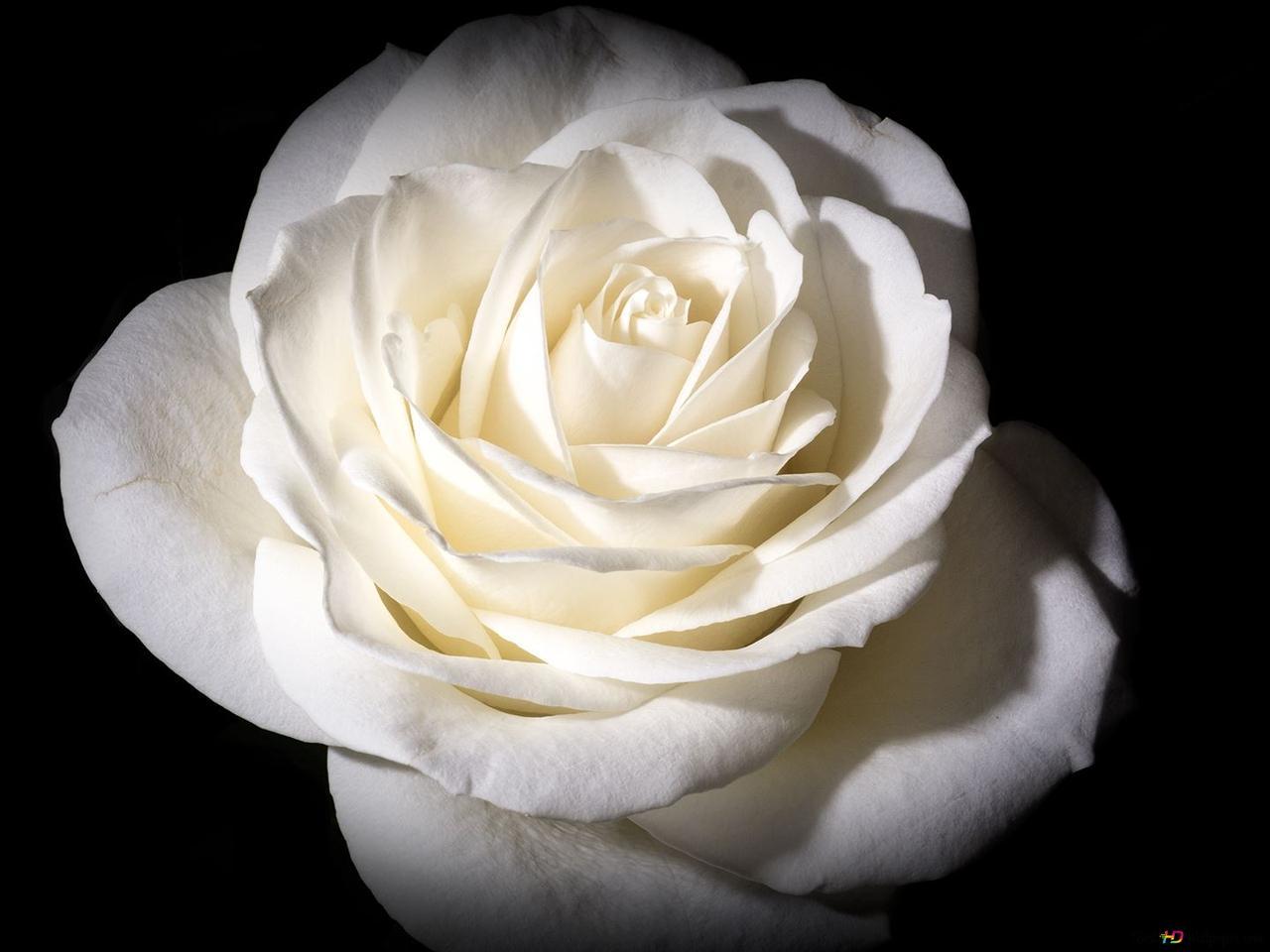 Rosa Bianca Su Sfondo Nero Download Di Sfondi Hd