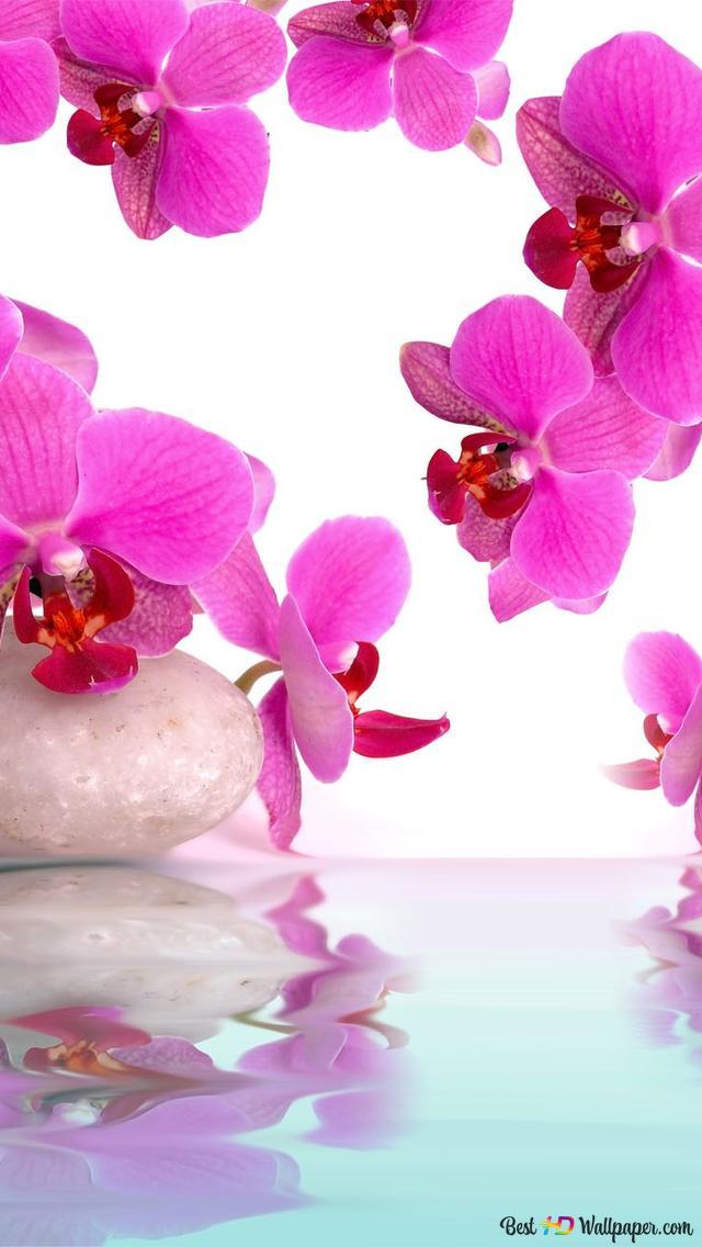 Rosa Orchideen Hd Hintergrundbilder Herunterladen