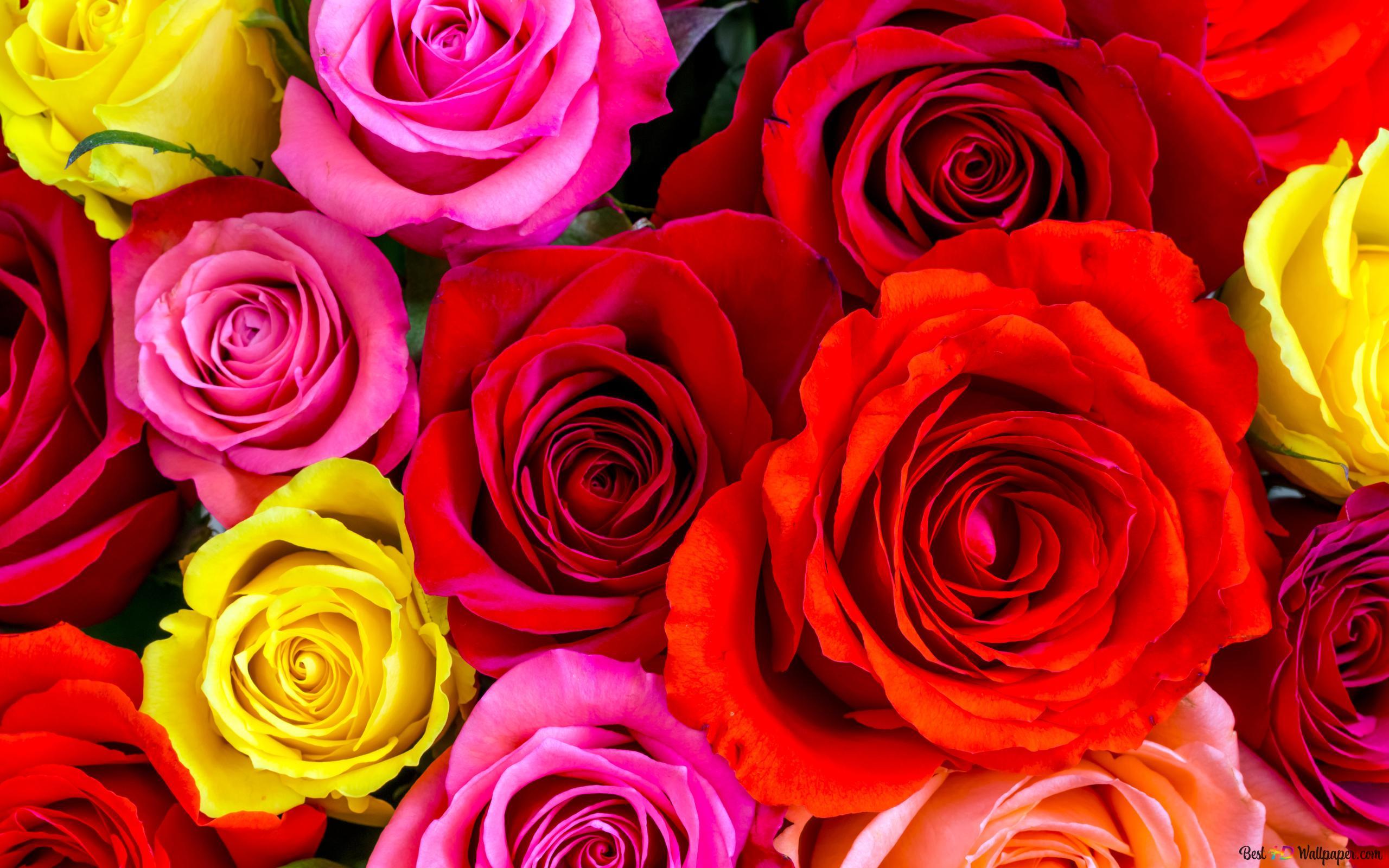 Rose Hd Wallpaper Download