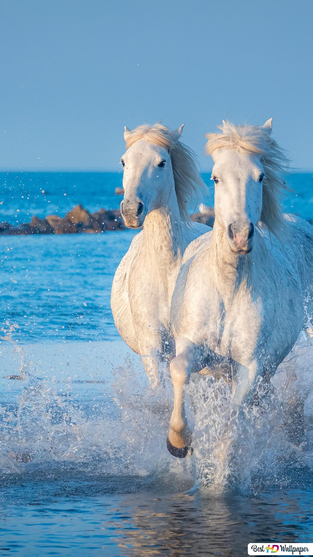 Running White Horses Hd Wallpaper Download