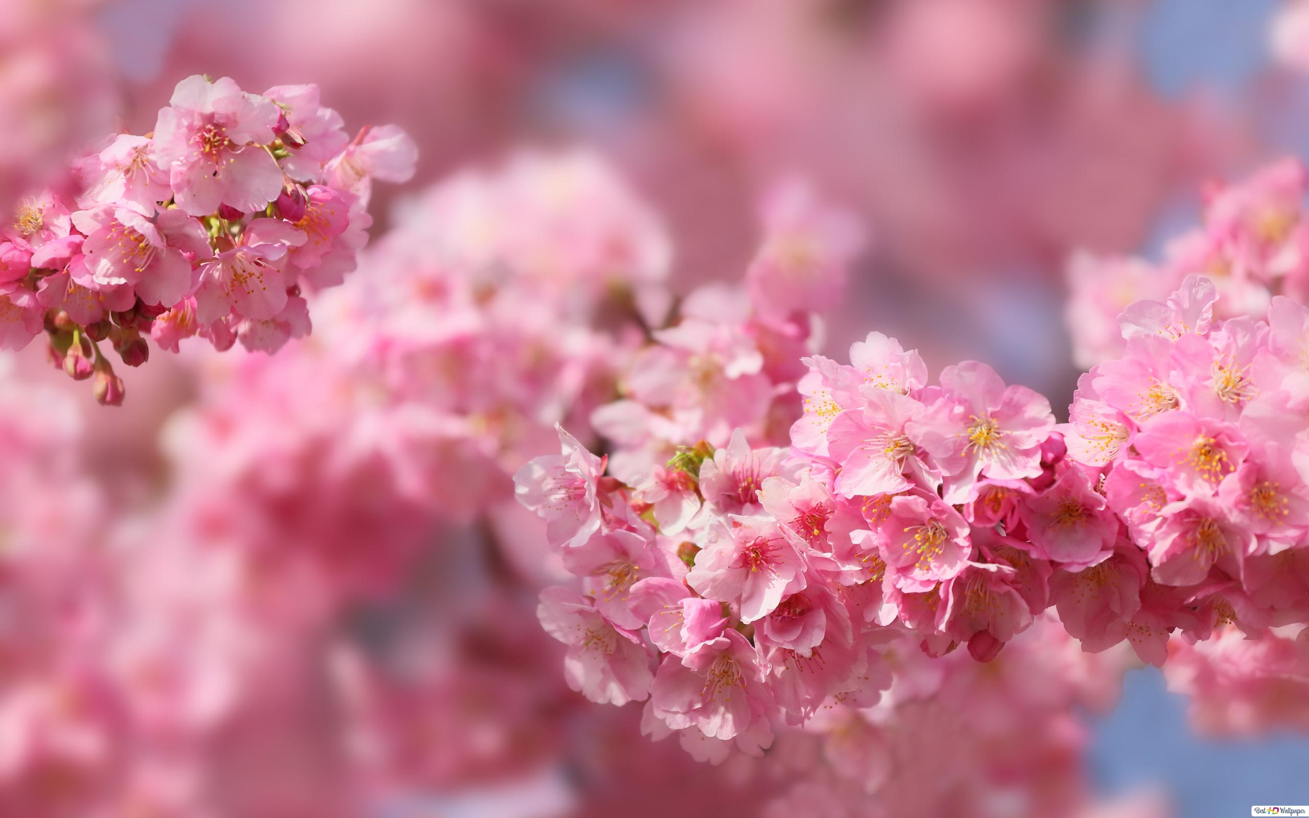 Sakura Flower Hd Wallpaper Download