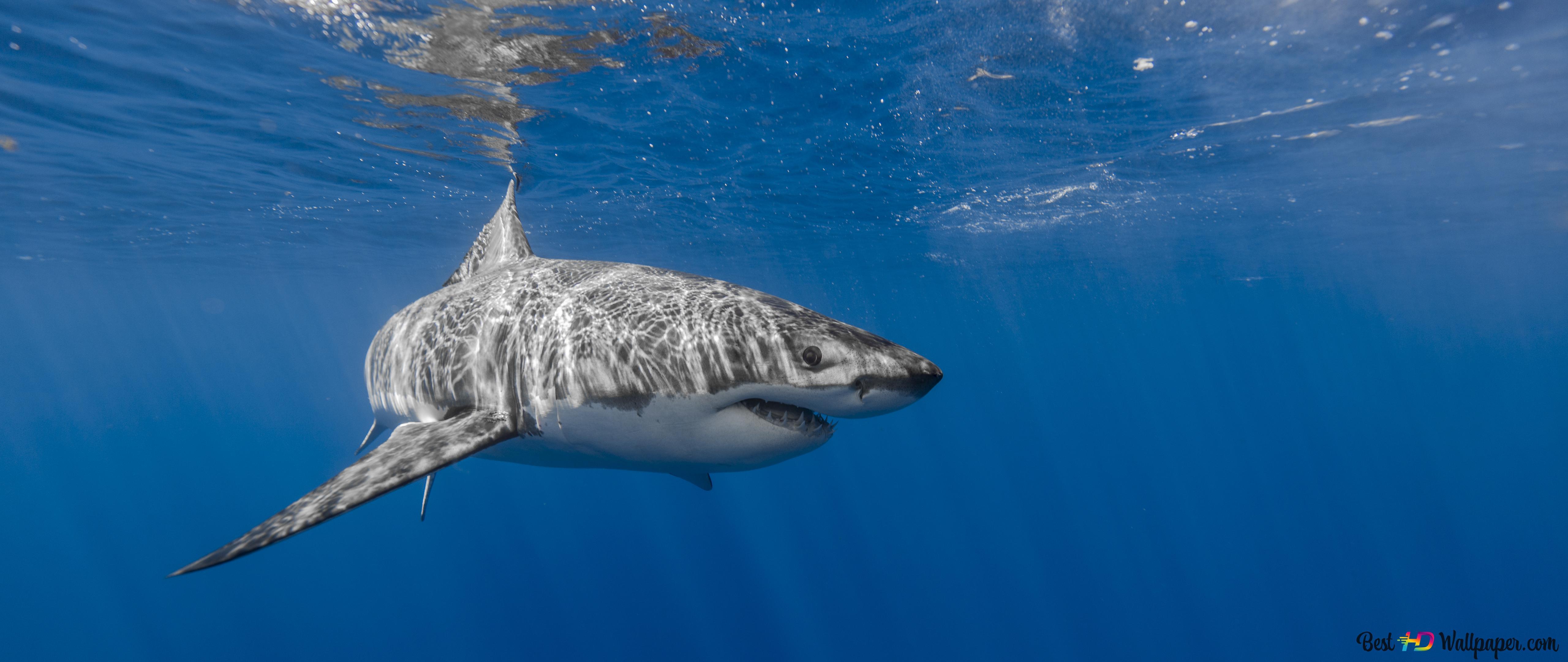 サメ 水中捕食者 Hd壁紙のダウンロード