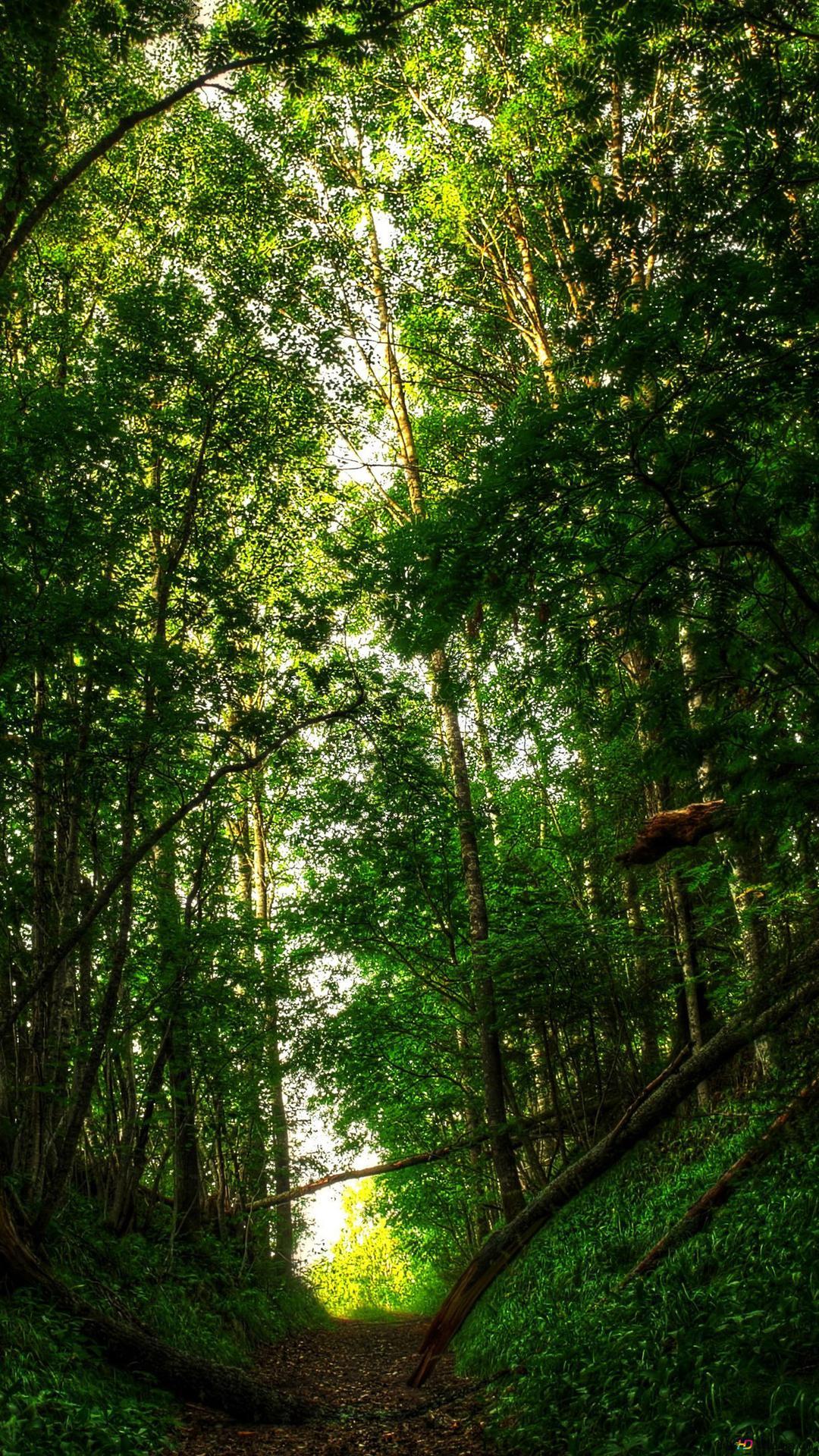 Schmale Pfade Im Wald Hd Hintergrundbilder Herunterladen