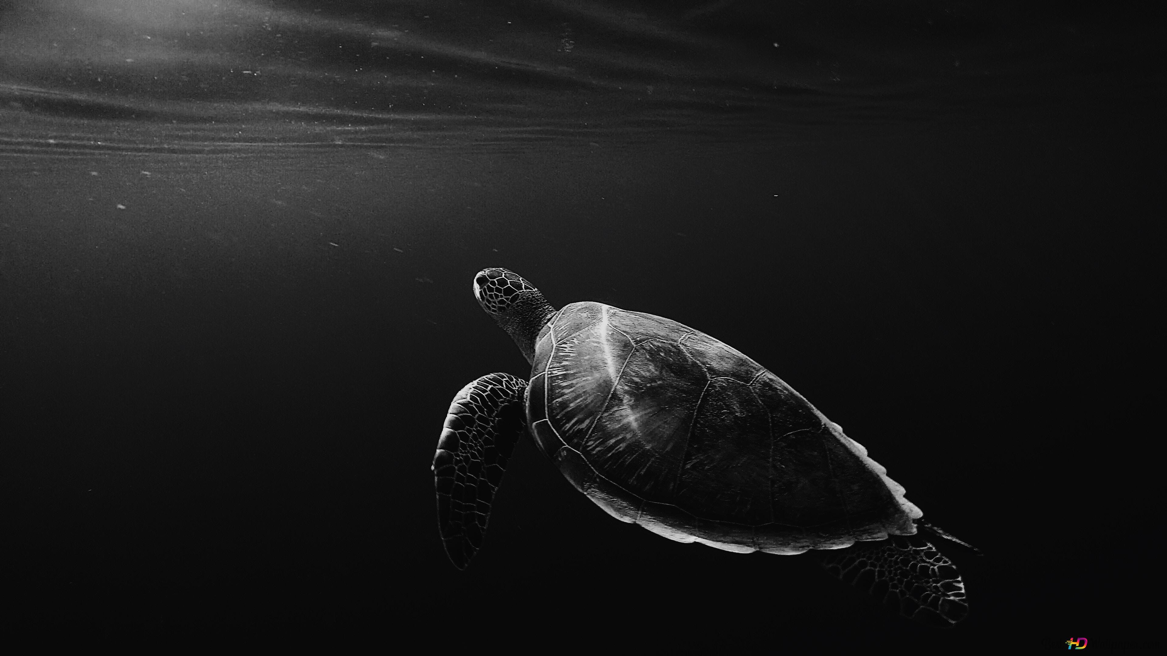 Sea Turtle Hd Wallpaper Download