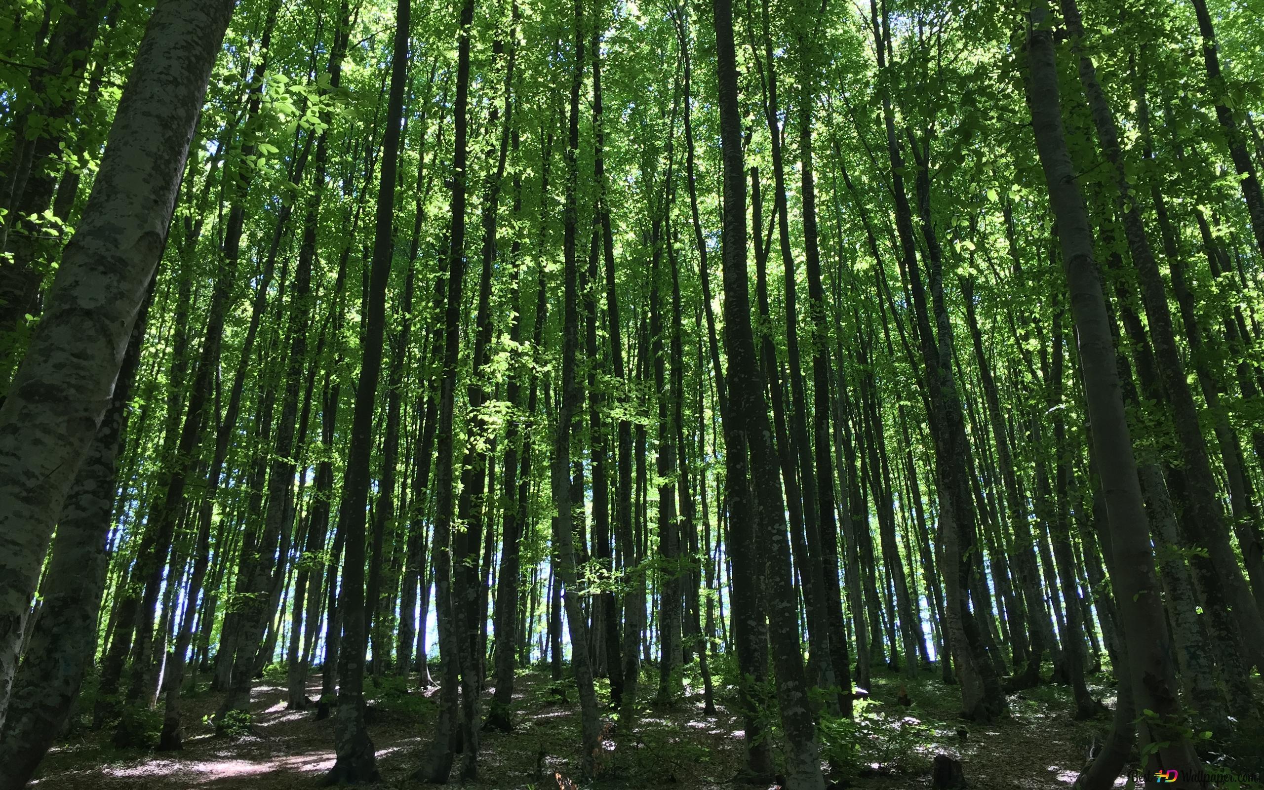 森林の自然の木 Hd壁紙のダウンロード