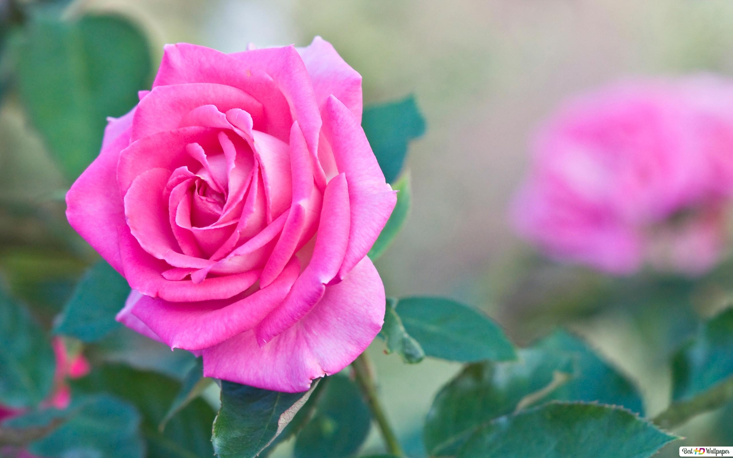 single pink rose hd wallpaper download