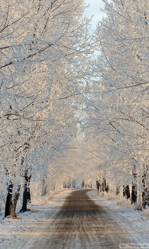 Snow Covered Tree Lined Way Hd Wallpaper Download