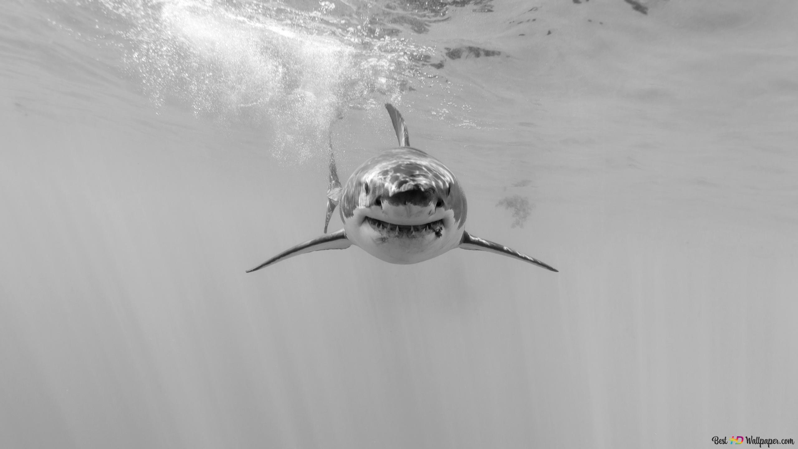 Squalo Subacquea Predator Download Di Sfondi Hd
