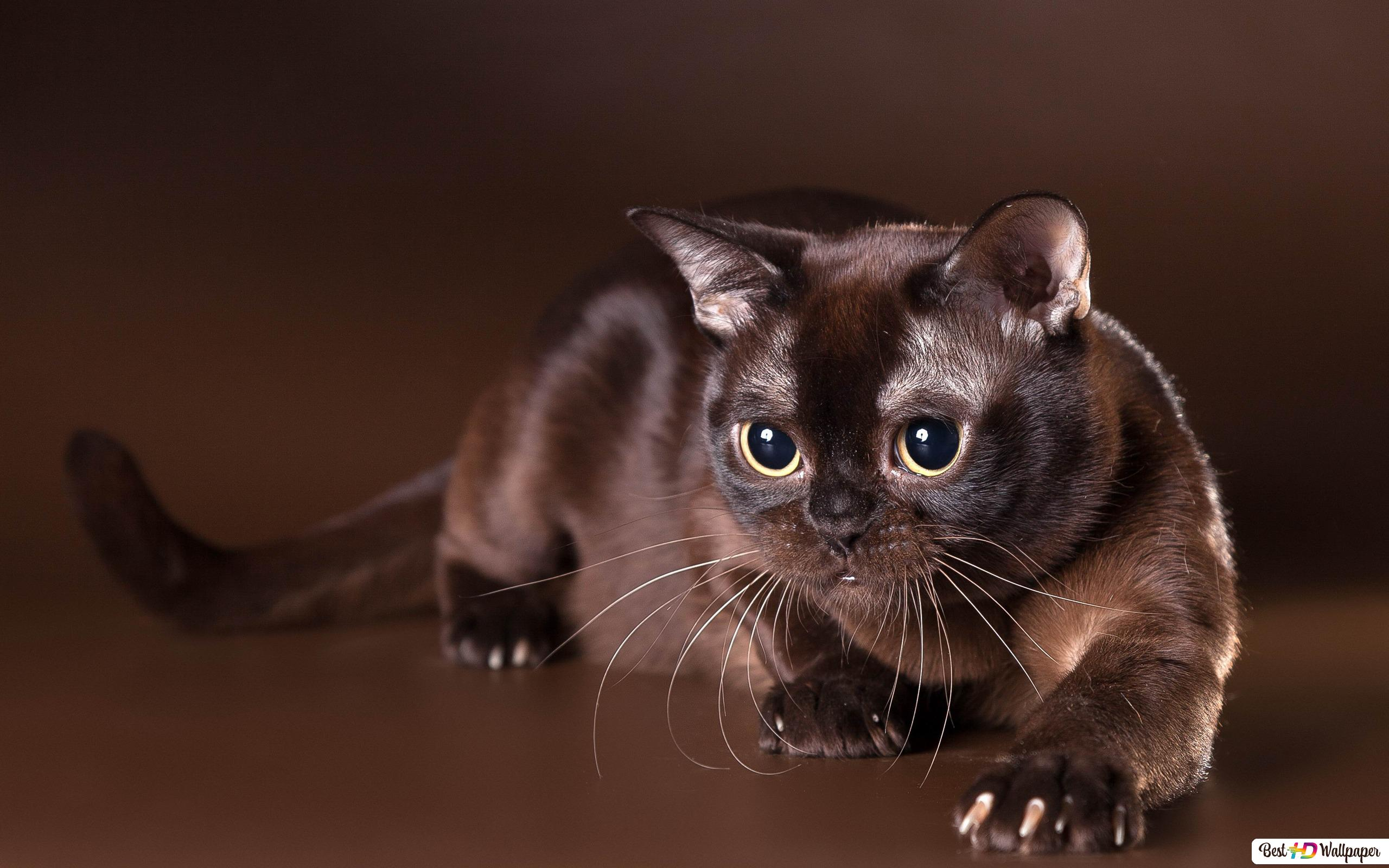 Staring Black Cat Tải xuống hình nền HD