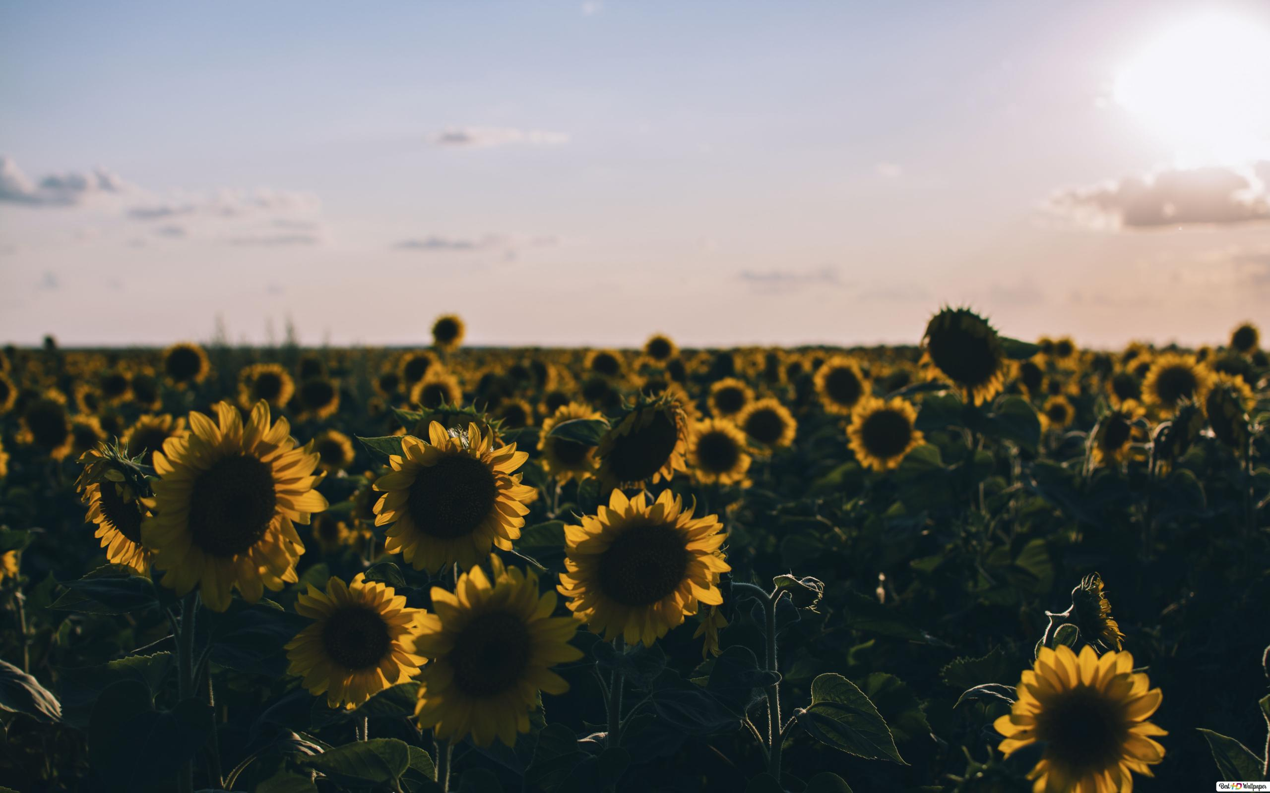 Sunflower Field Background Hd Wallpaper Download