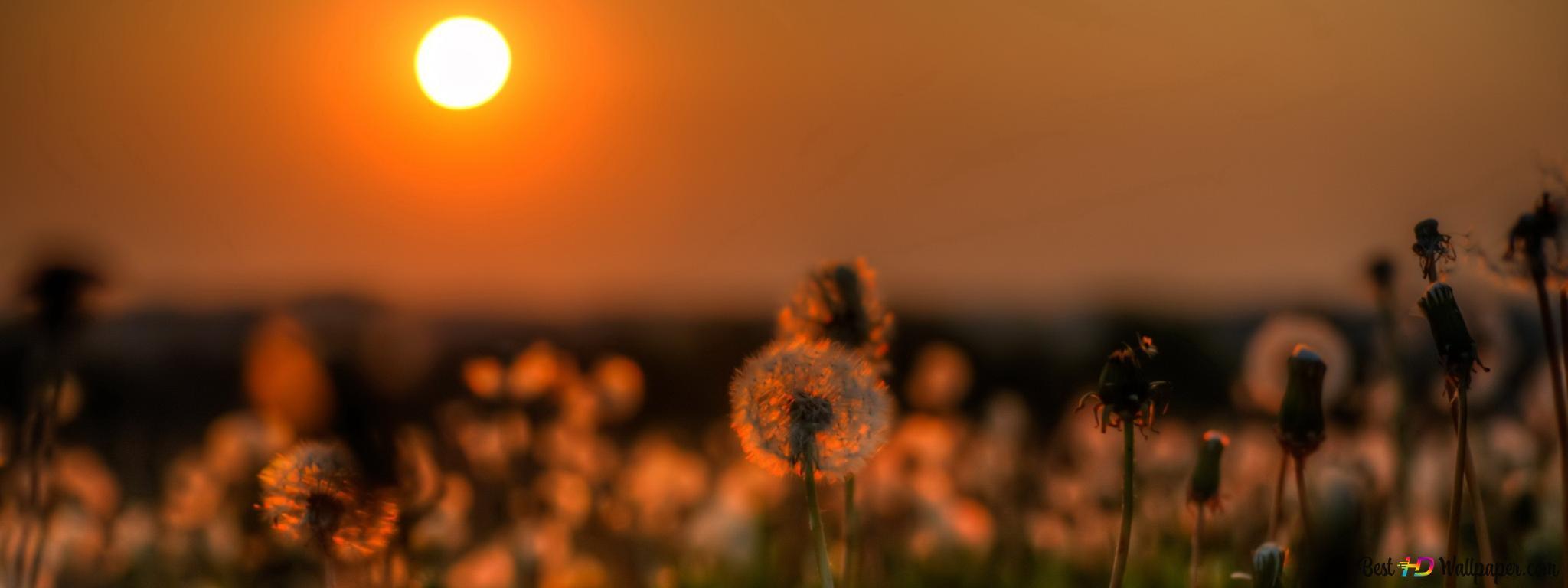 Sunset in the dandelion flower field HD wallpaper download