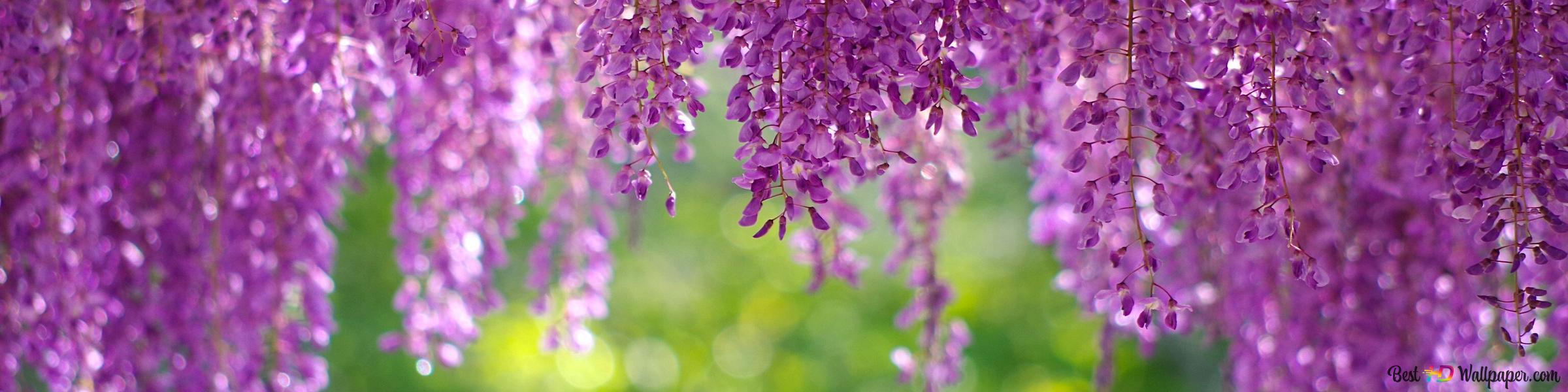 藤紫色の春の花 Hd壁紙のダウンロード