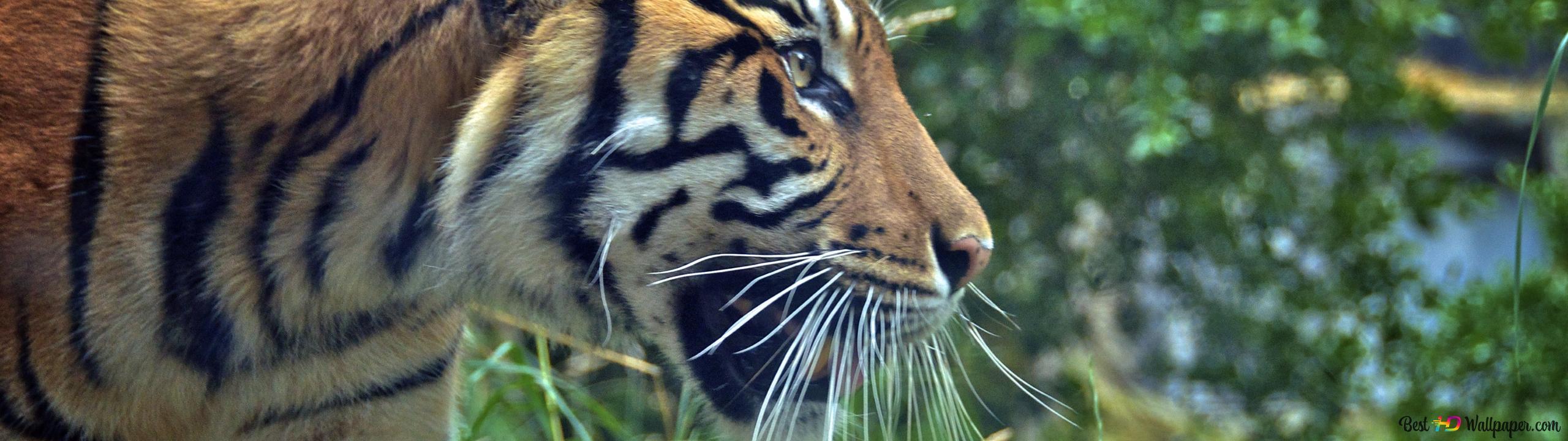 Tiger Attack Mode Hd Tapet Nedlasting
