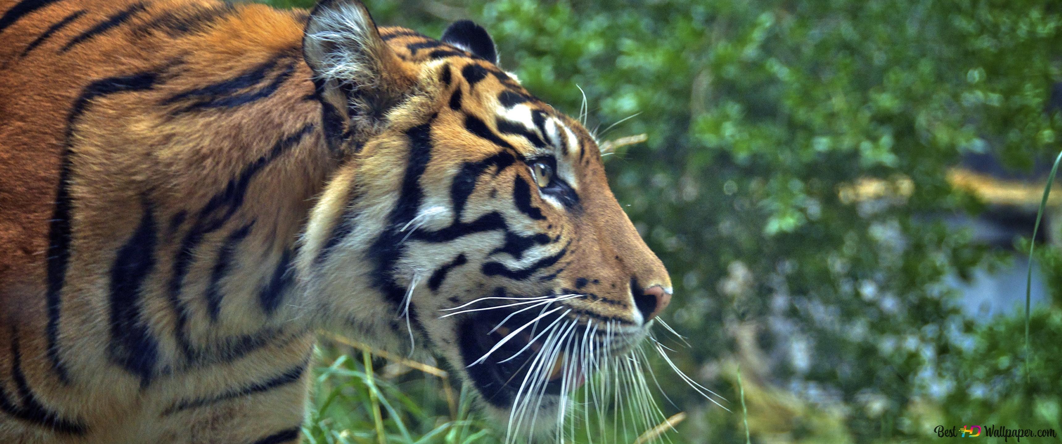Tiger Attack Mode Hd Tapet Download