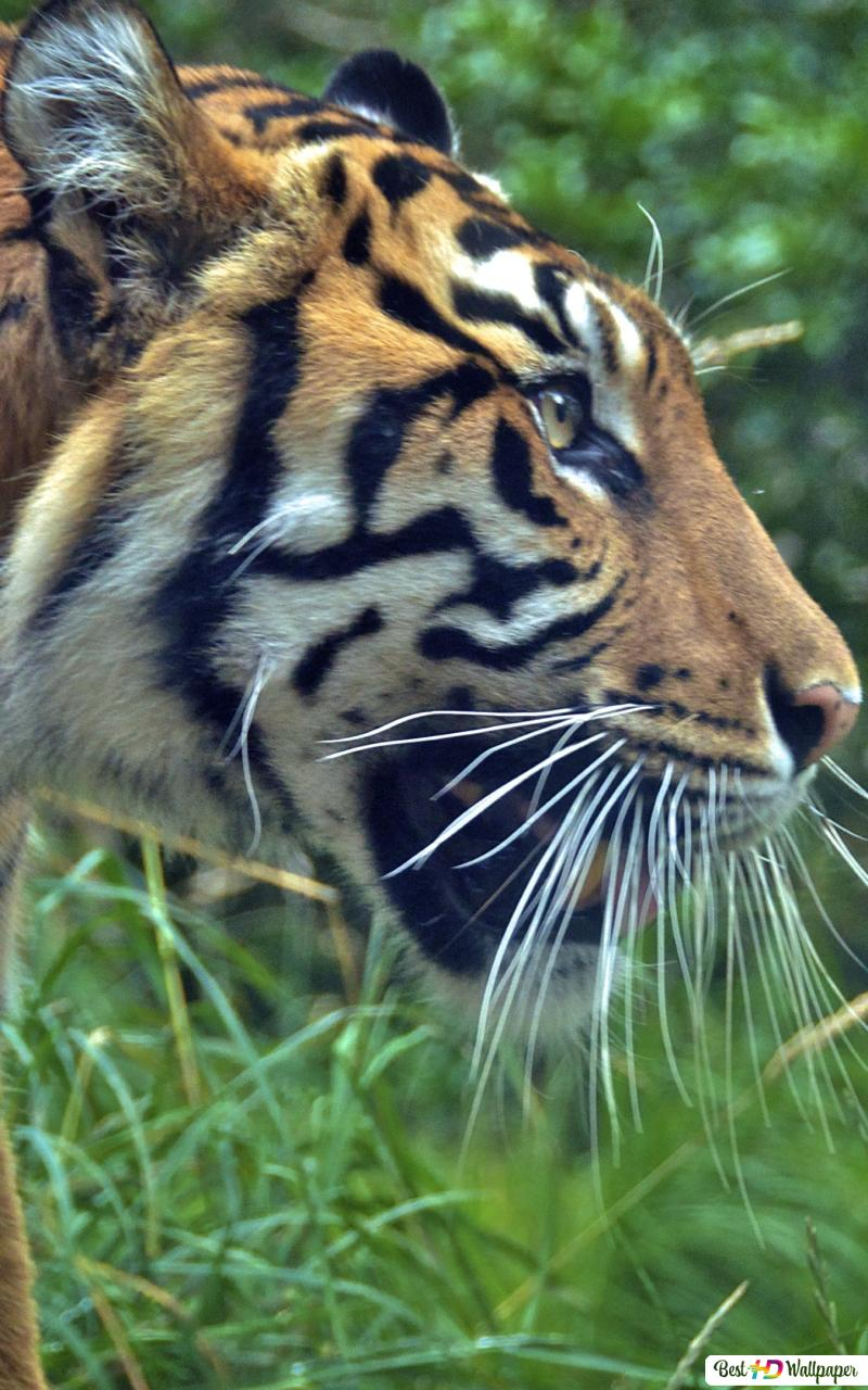 Tiger Attack Mode Hd Wallpaper Download