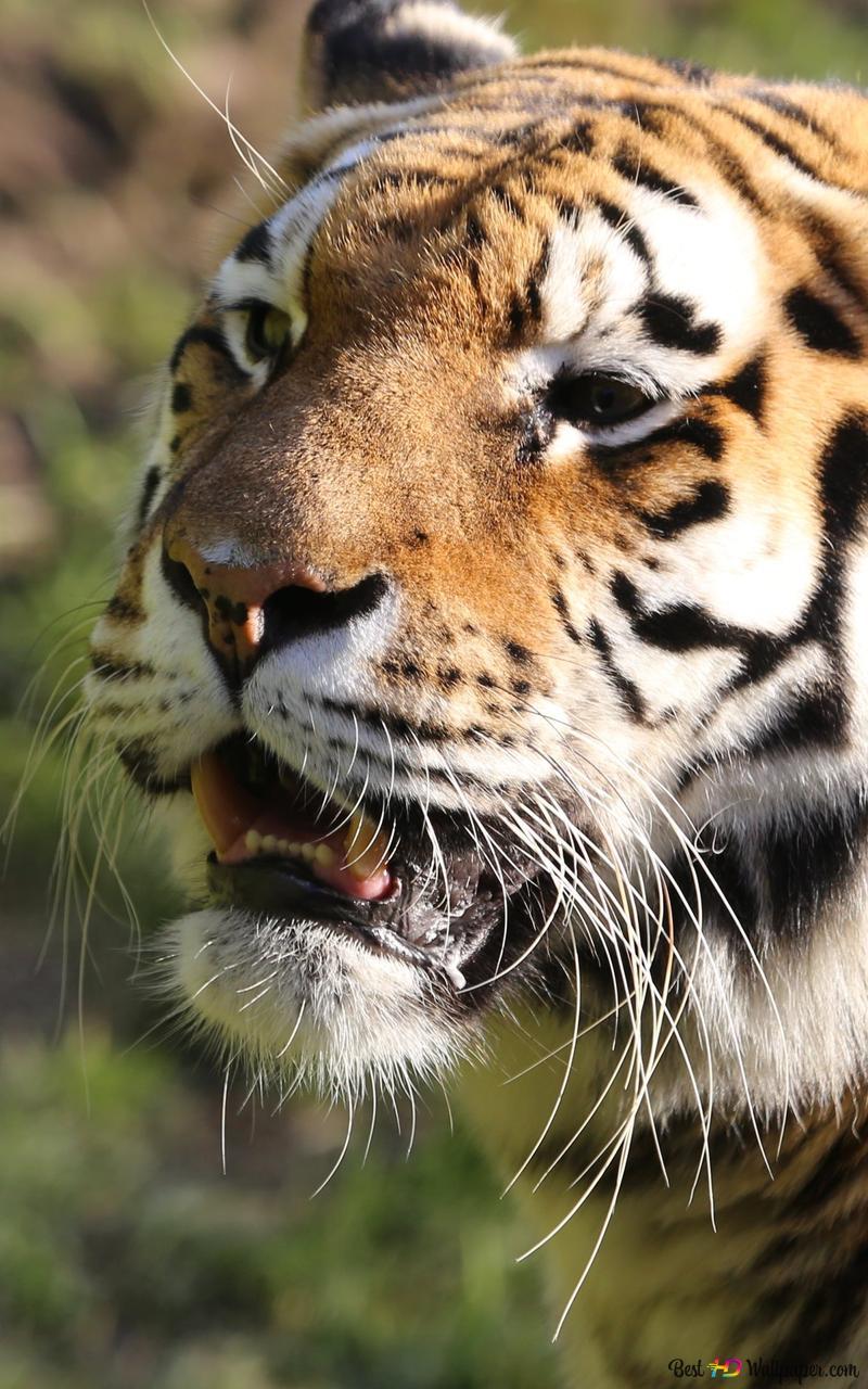 Tiger Hd Wallpaper Download