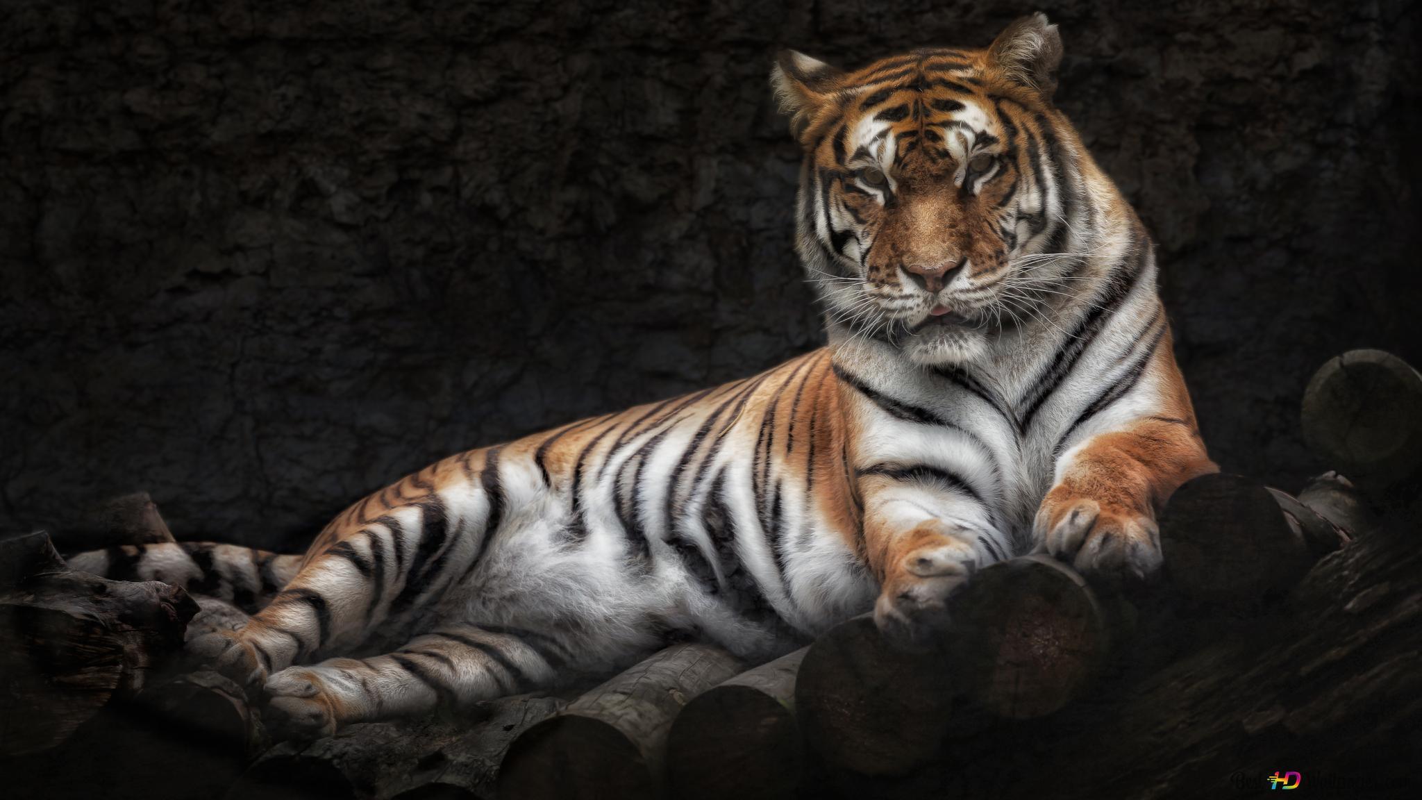 Descargar Fondo De Pantalla Tigre Real Hd