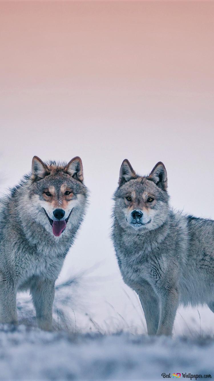 突き出し舌とオオカミ Hd壁紙のダウンロード
