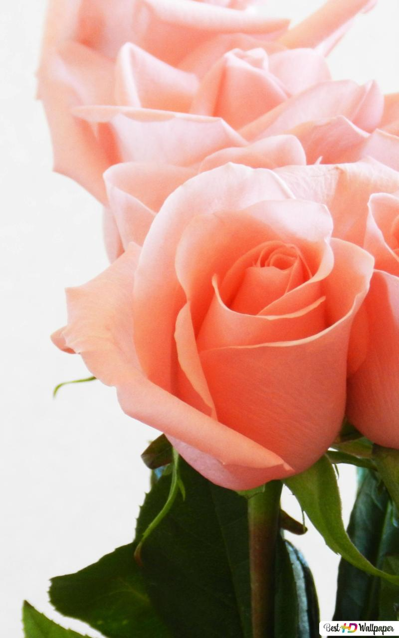 Valentine S Day Peach Color Roses Hd Wallpaper Download